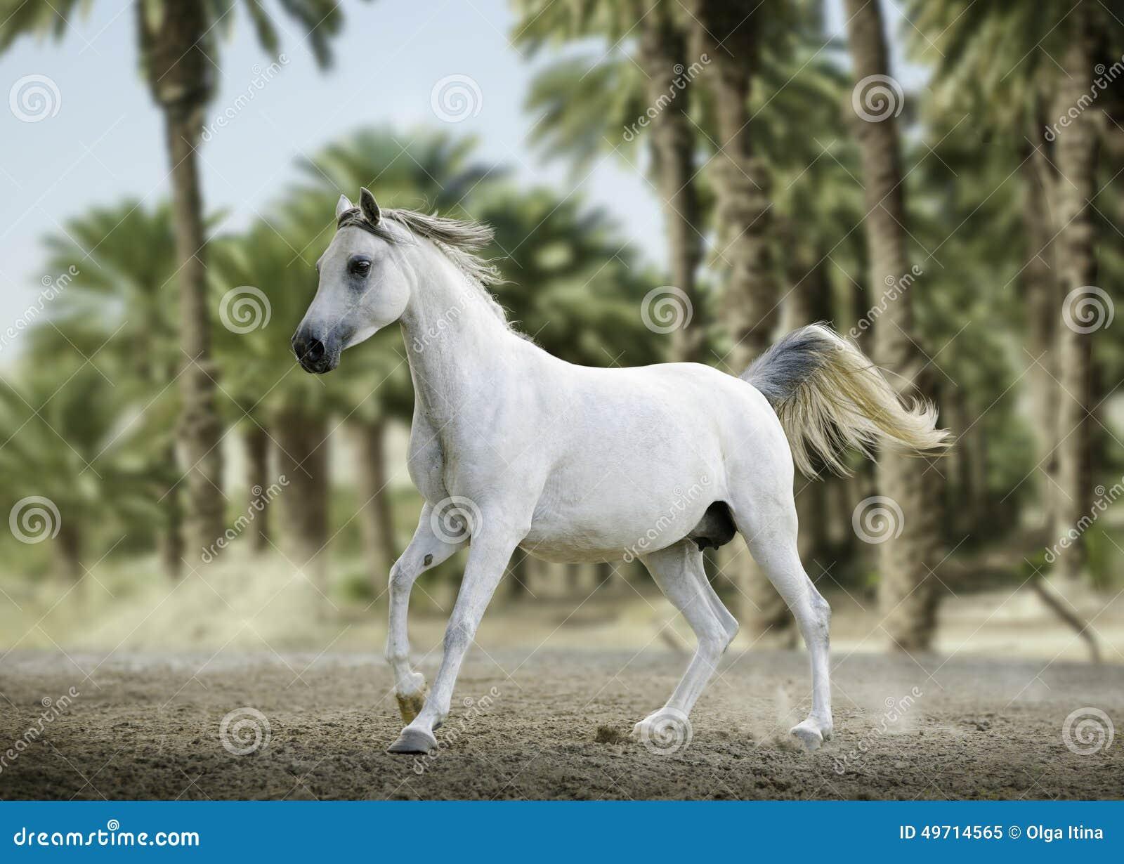 Purebred White Arabian Horse Running In Desert Stock Image ...