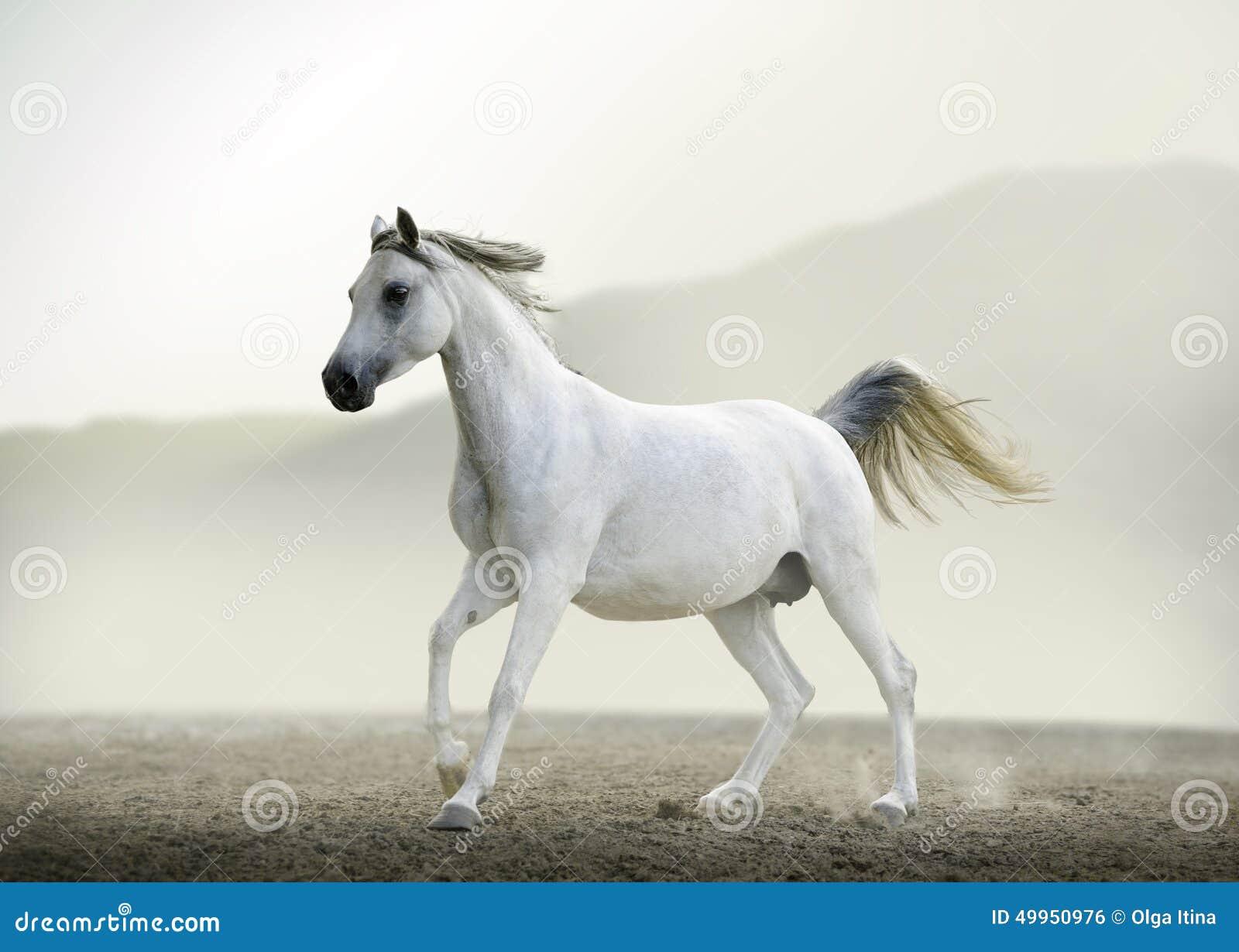 Purebred White Arabian Horse Running In Desert Stock Photo ...