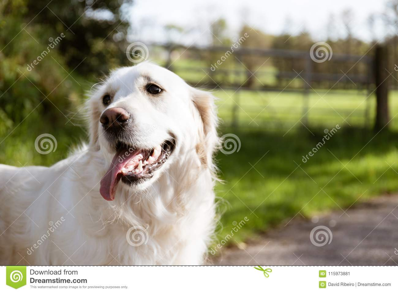 Purebred White Golden Retriever In The Middle Of A Road Stock Image