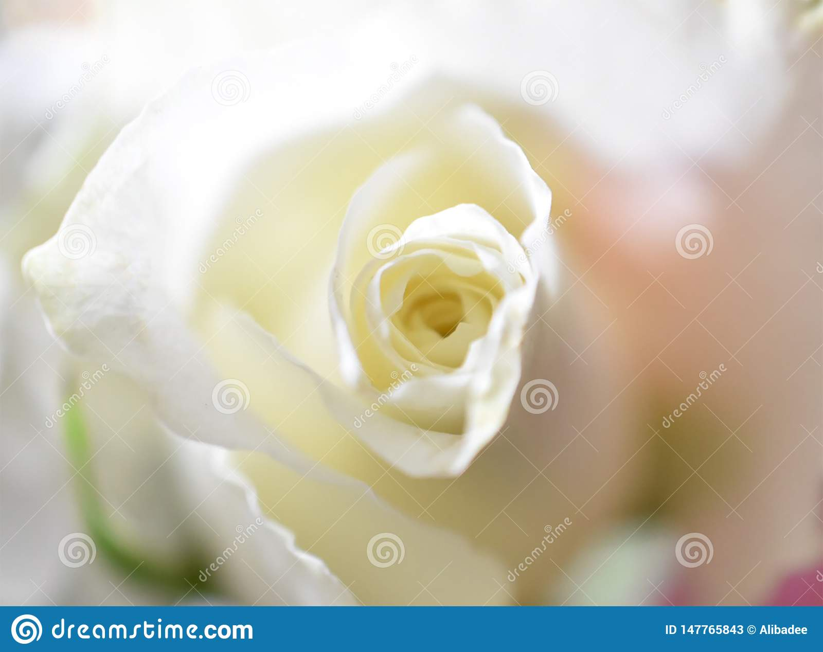 Purity of the rose