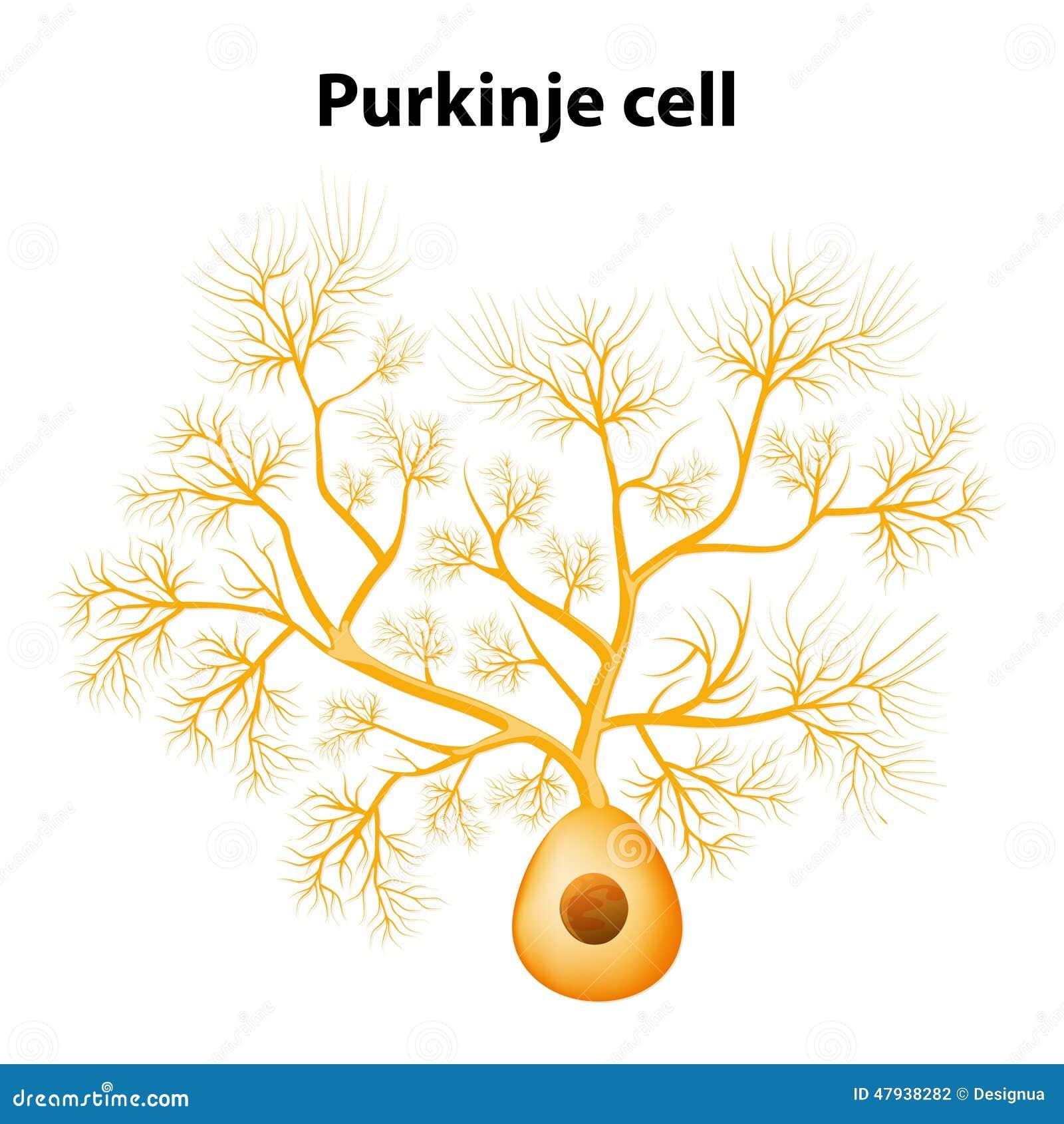 Purkinje cell or purkinje neuron stock vector image 47938282 - Pure kindje ...