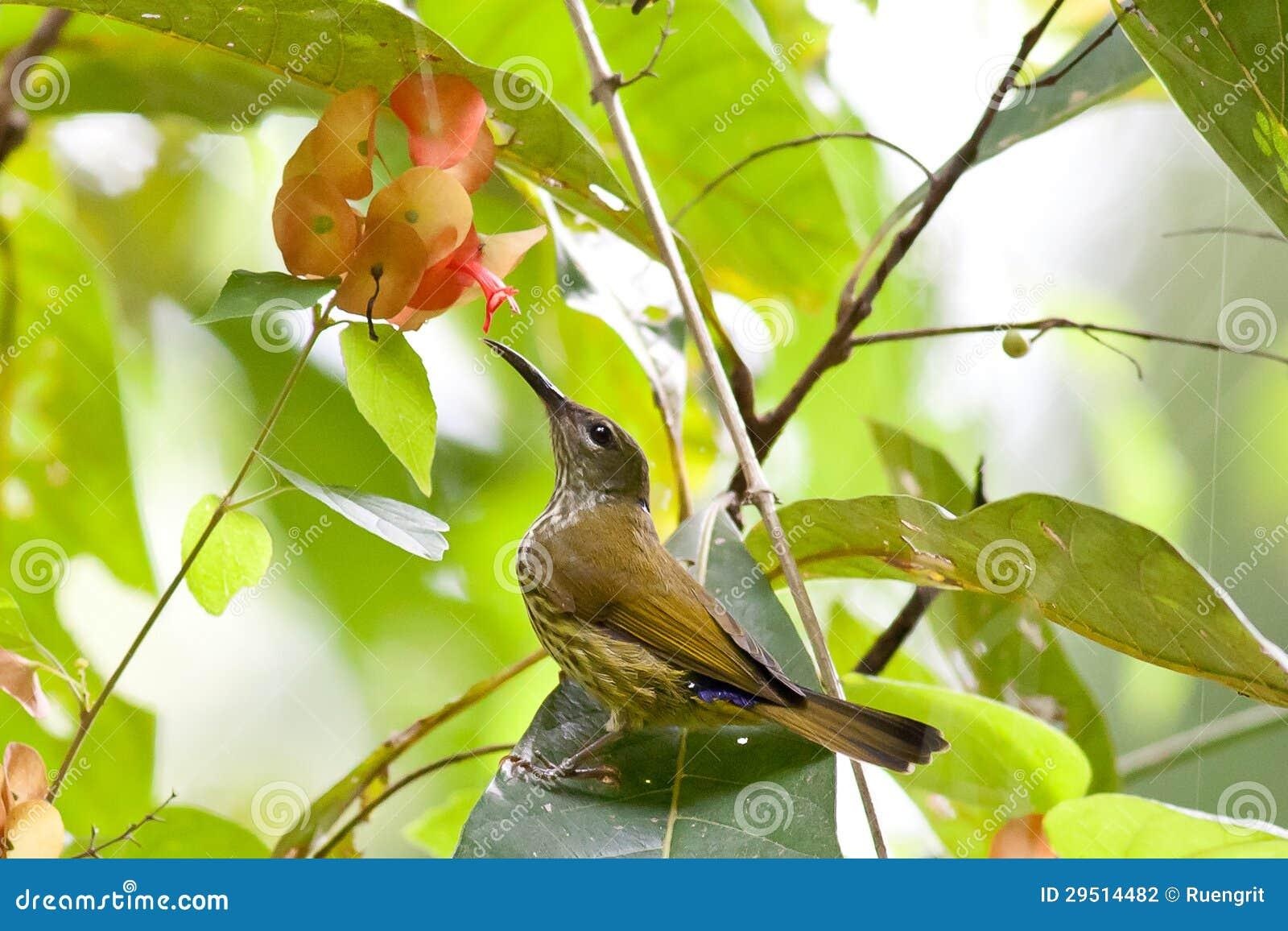 Purper-Naped Sunbird