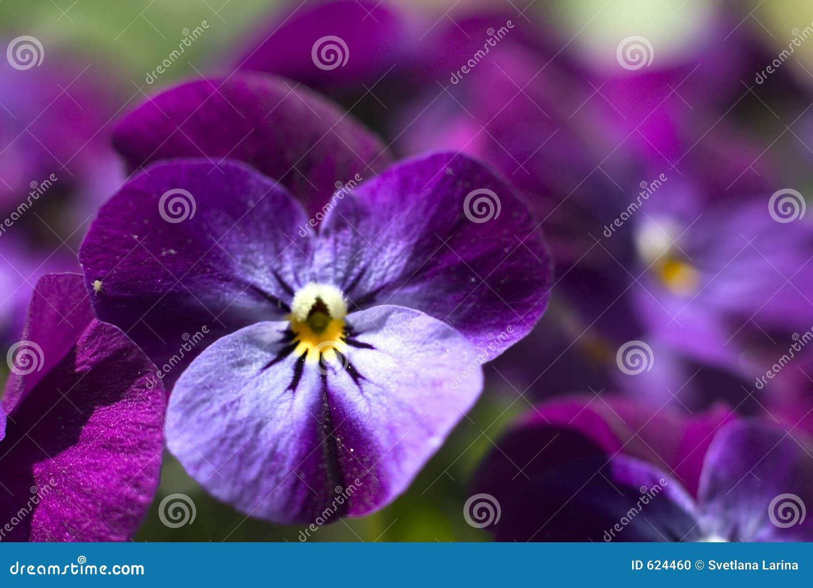 Purper viooltje