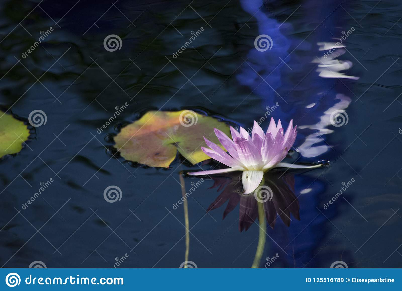 Purper Water Lily Flower With Reflection Floating op Waterige Achtergrond