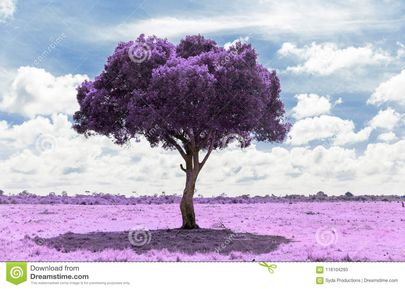Purpere acaciaboom in savanne met infrarood effect