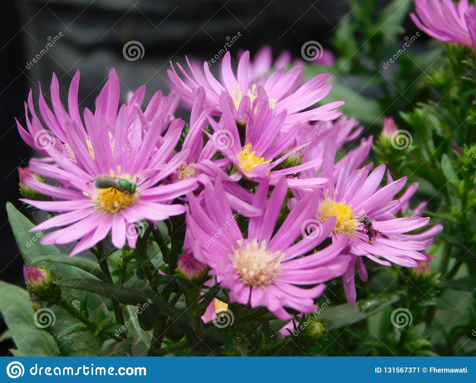 Purpere aster