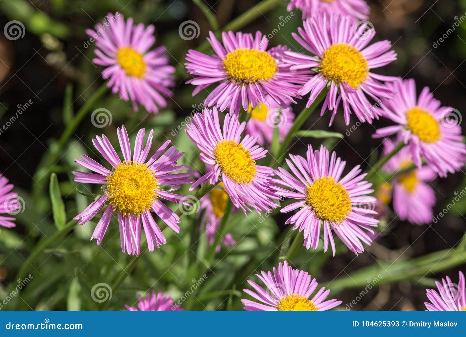Download Purpere asterclose-up stock afbeelding. Afbeelding bestaande uit bloemblaadje - 104625393