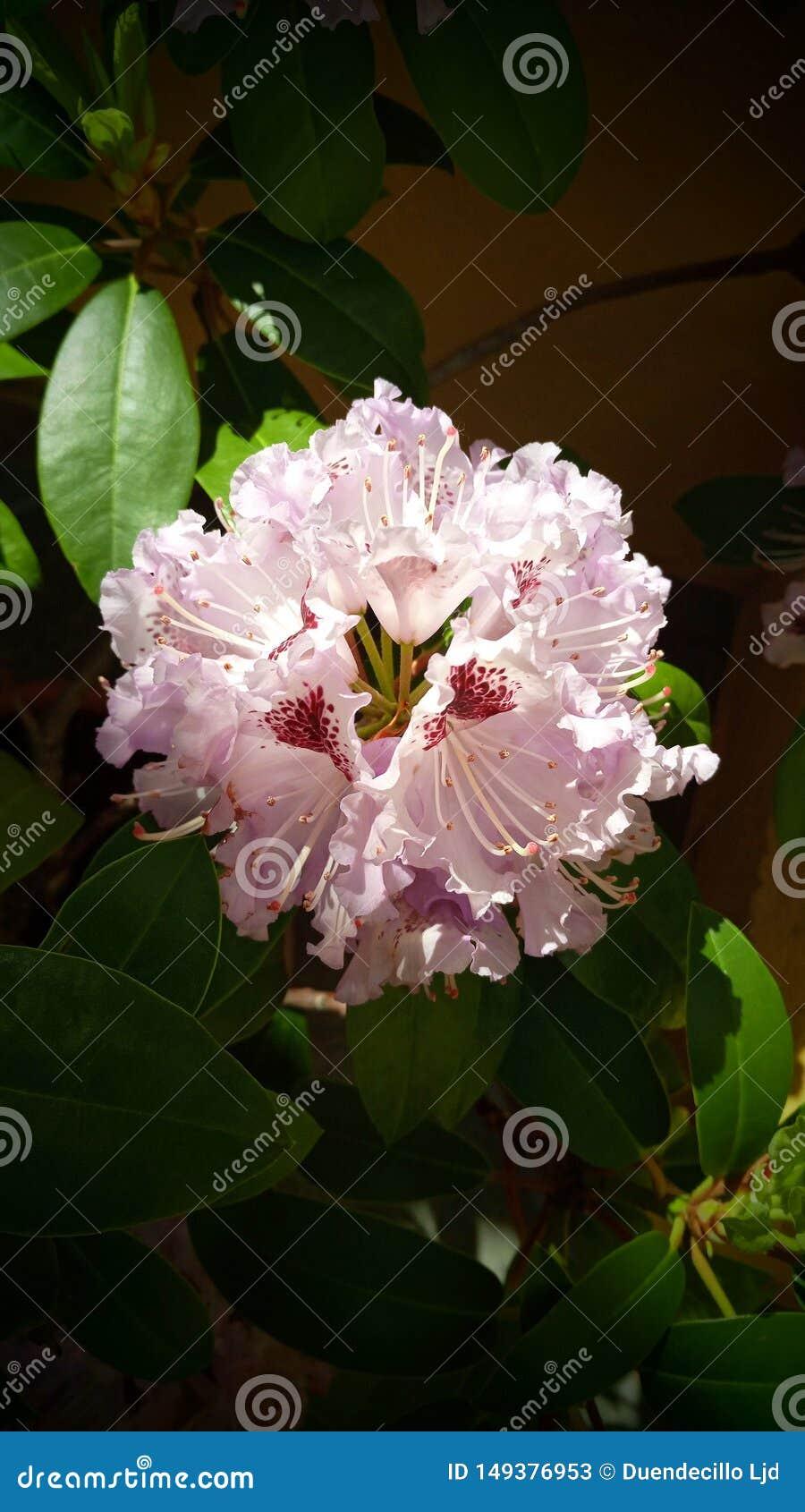 Purpere bloem van purpere rododendron