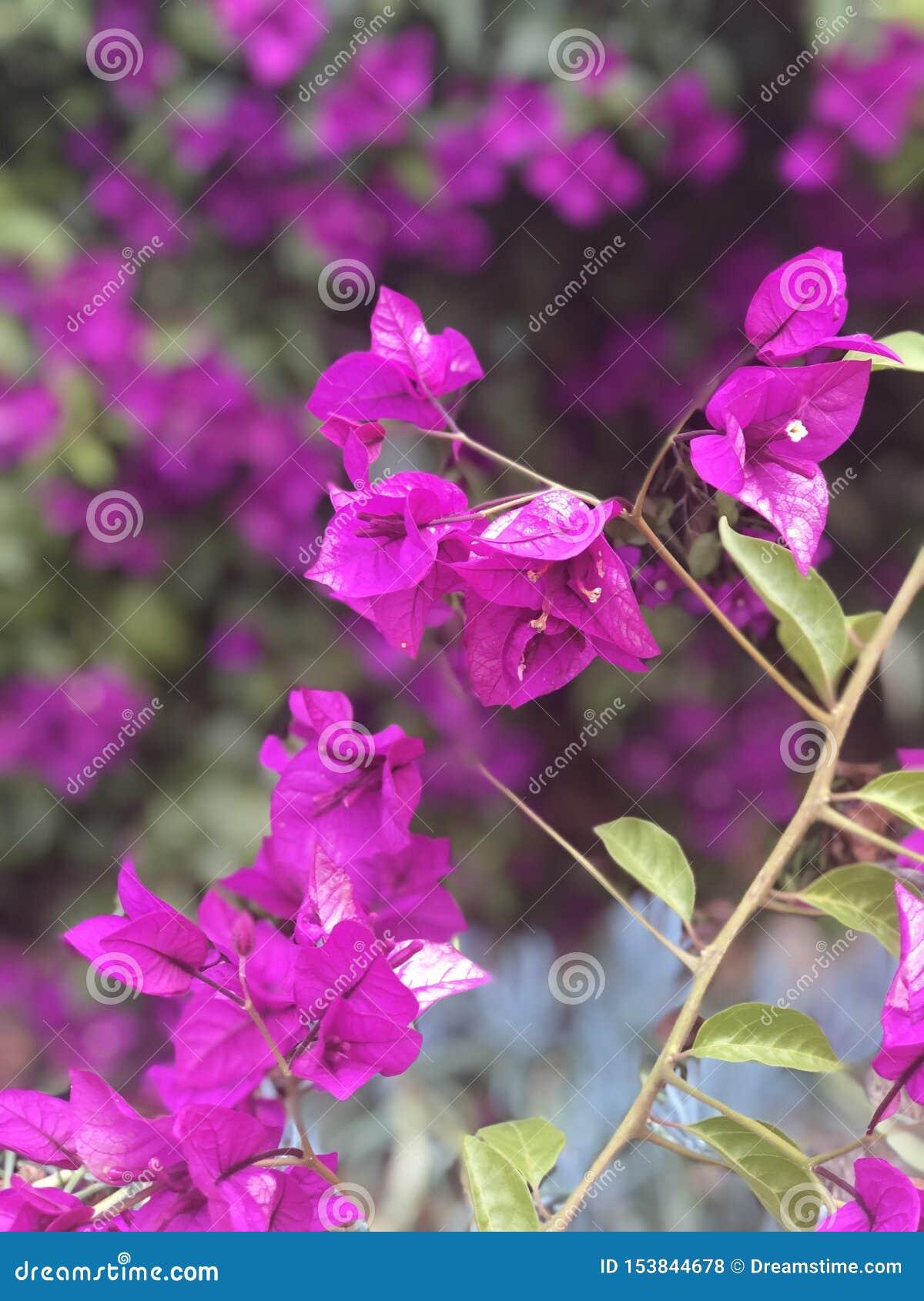Purpere bloemen die van boom hangen