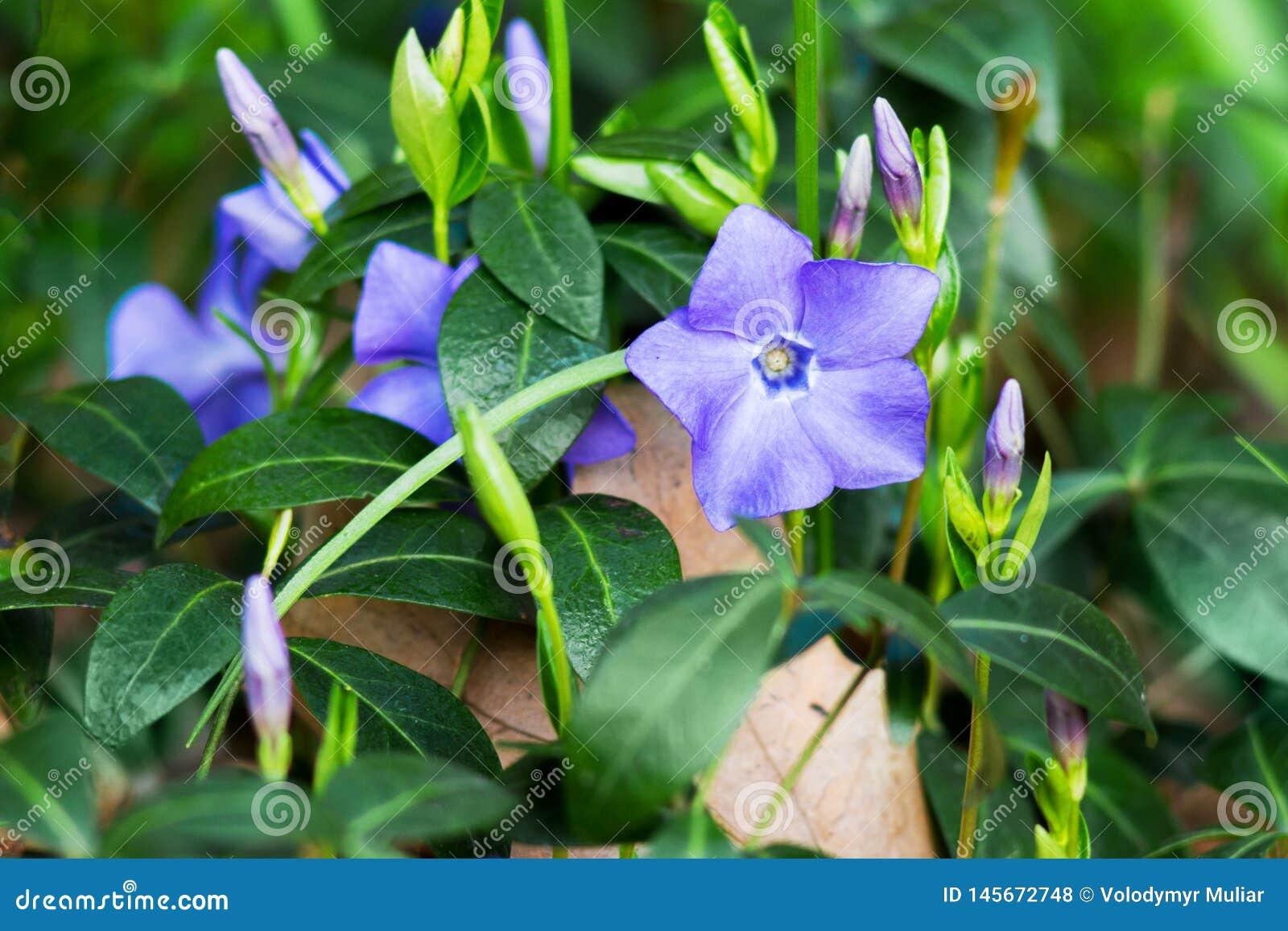 Purpere bloemen van maagdenpalm in het bos op vaag background_
