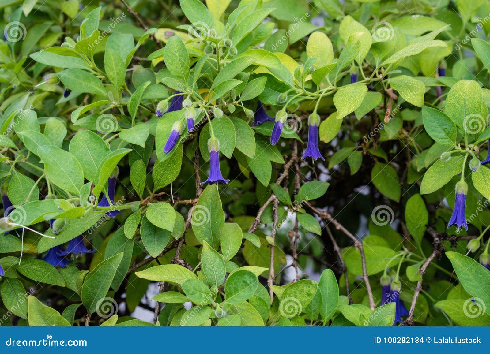 Purpere bloemknoppen van de Australische installatie die van acnistussolanaceae in tuin bloeien