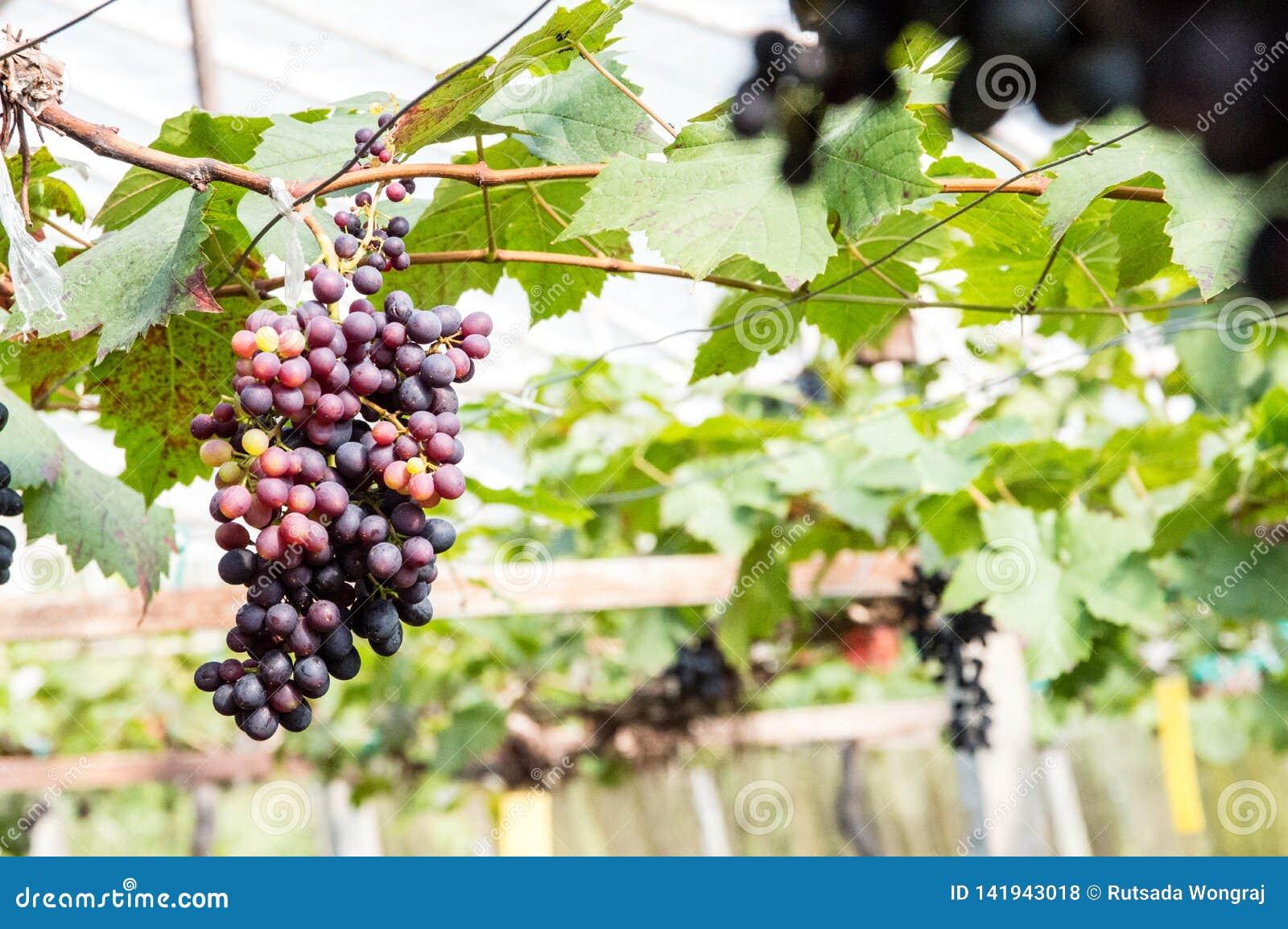 Purpere druiven die op de takken hangen