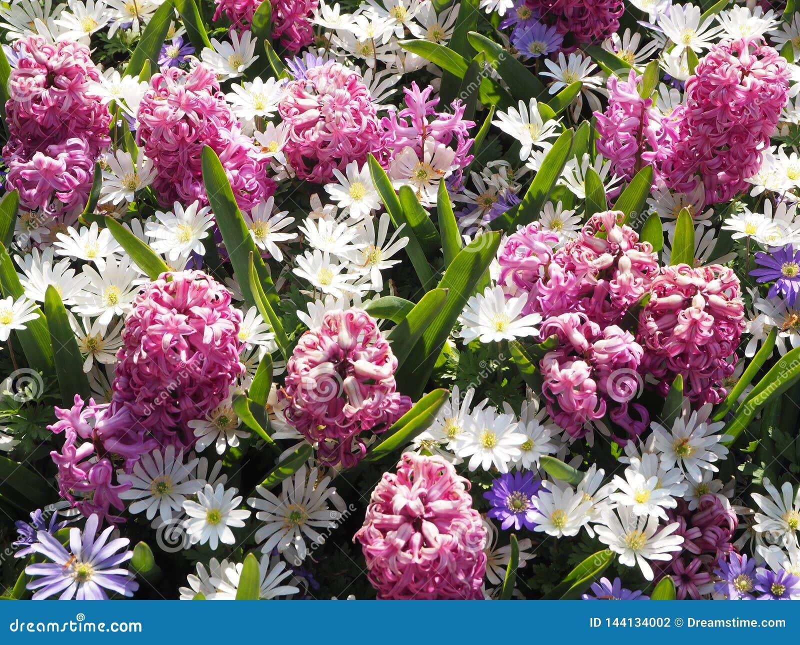 Purpere en Roze en Witte de Lentebloemen