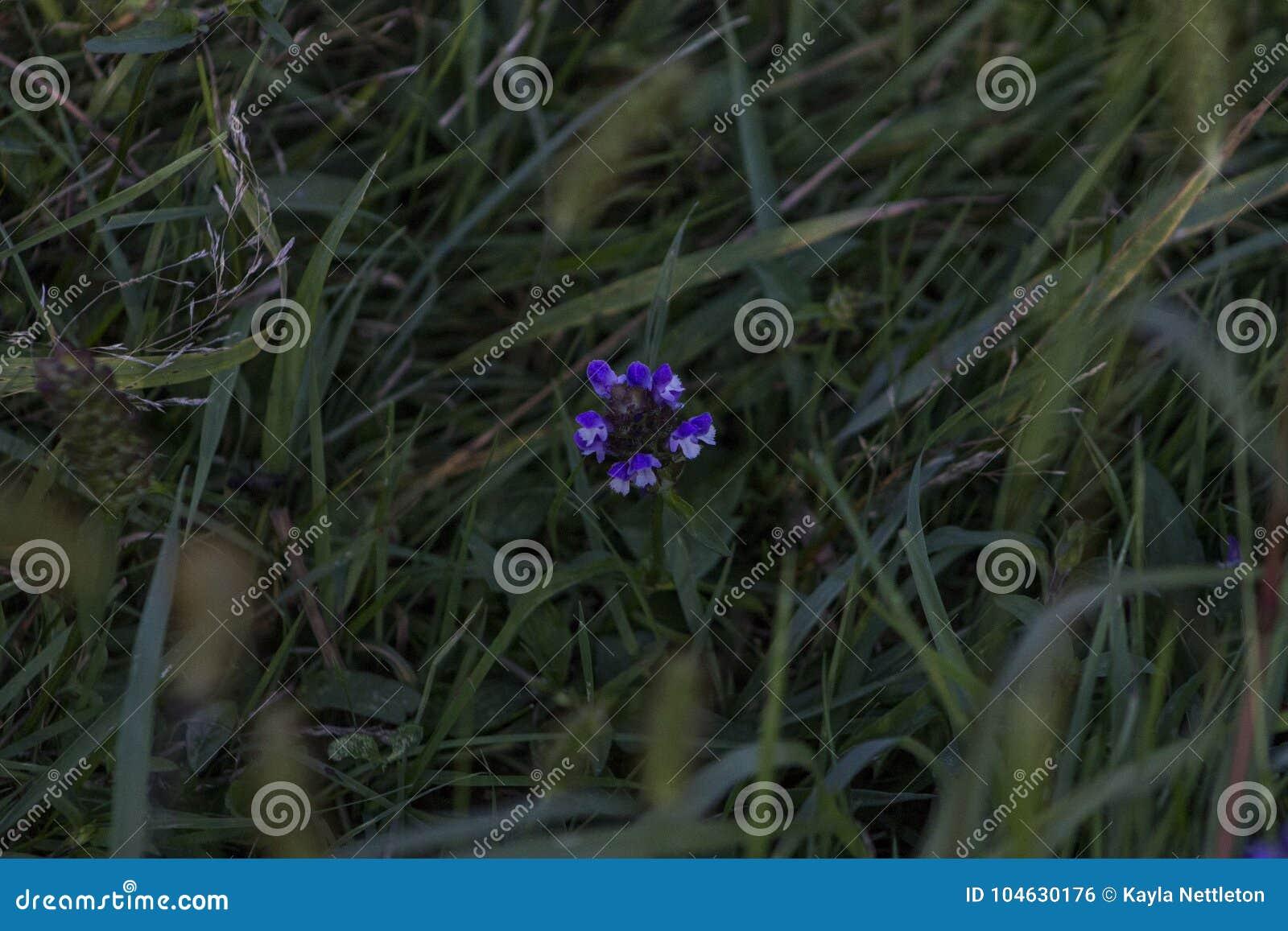 Download Purpere En Witte Eenzame Bloem Stock Foto - Afbeelding bestaande uit nacht, purper: 104630176