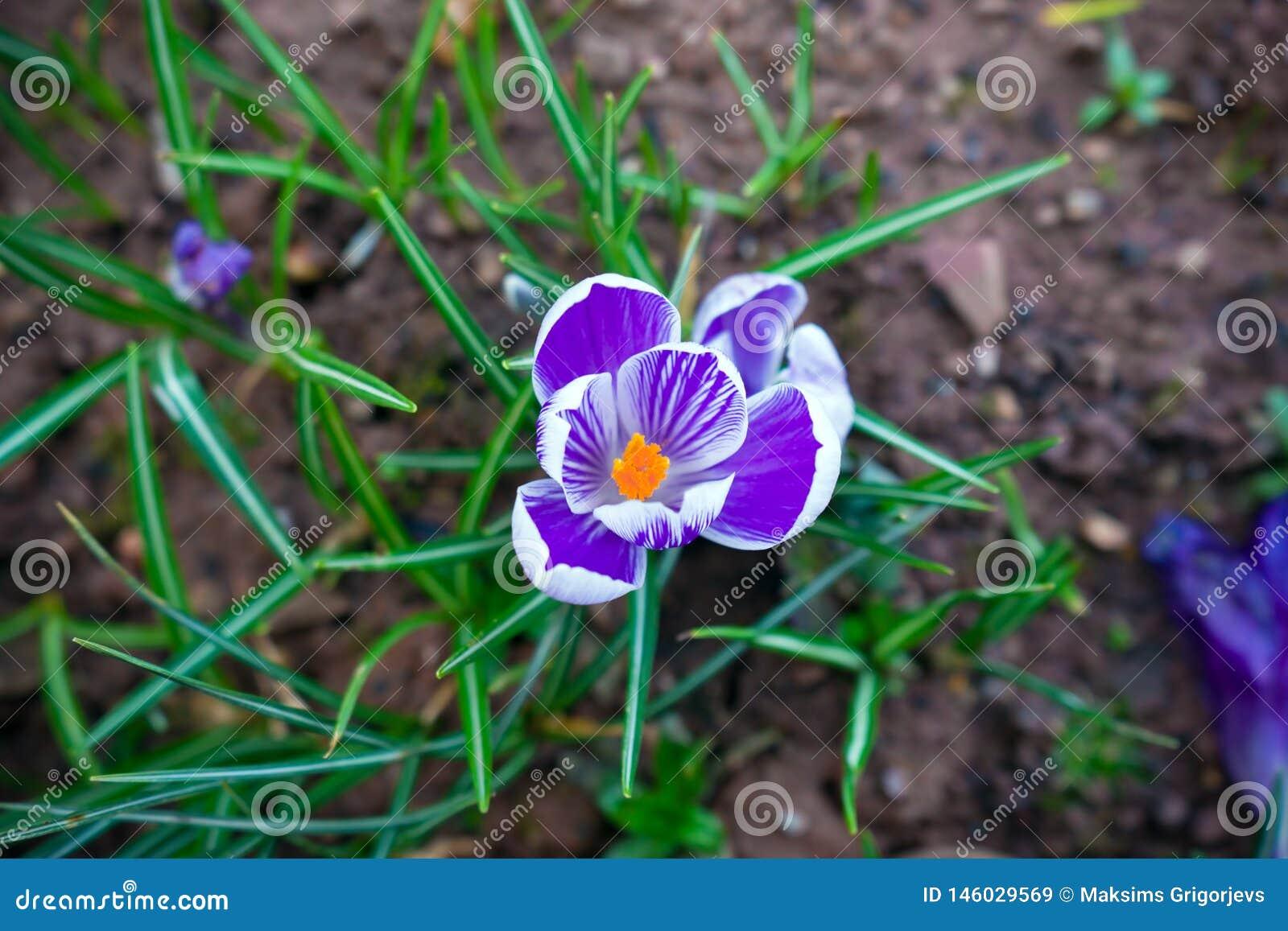 Purpere en witte krokusbloemen in de de lentetijd