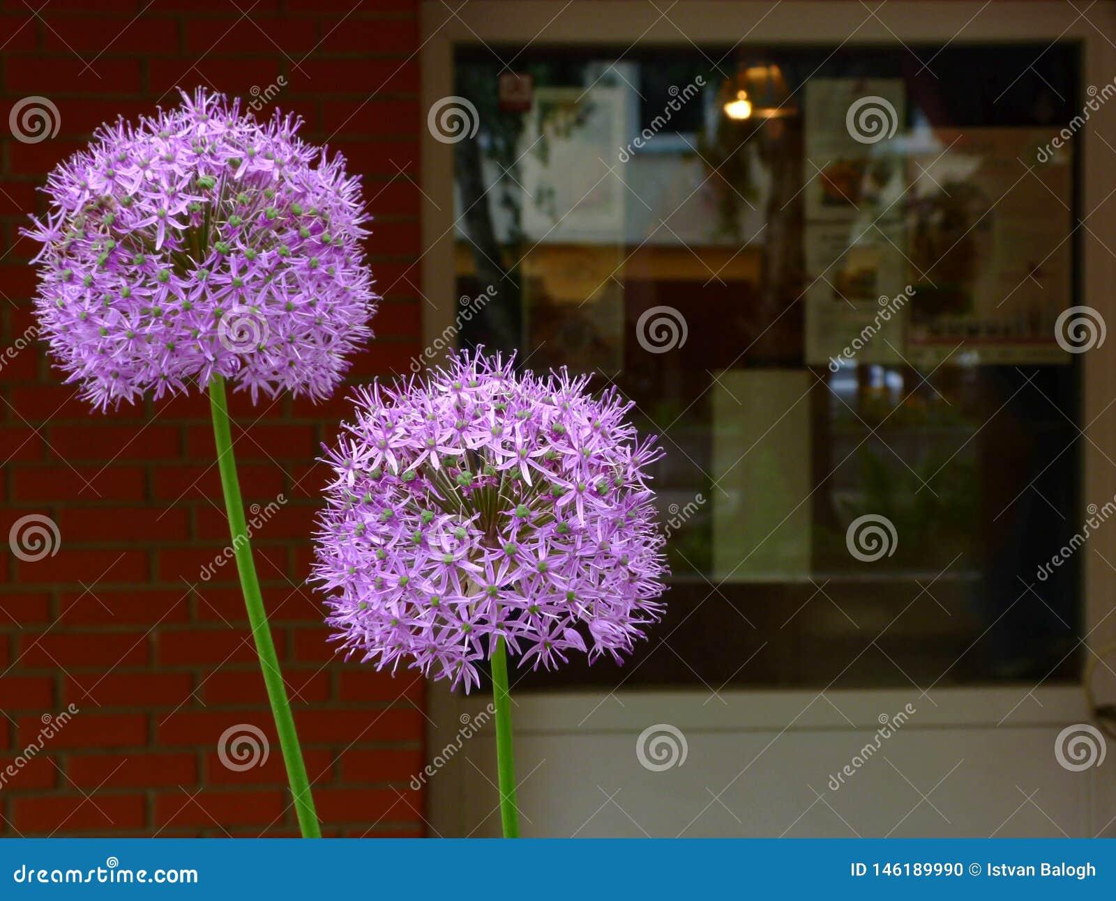 Purpere gebied gevormde Allium bloeiende ui in voorgrond