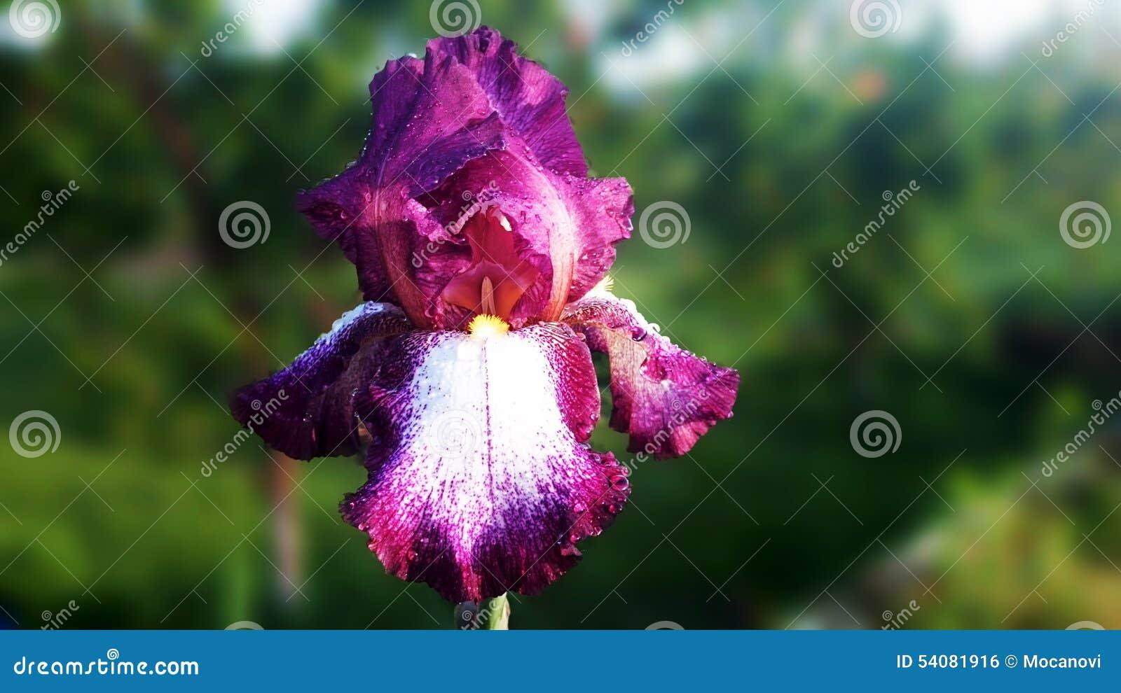 Purpere Iris