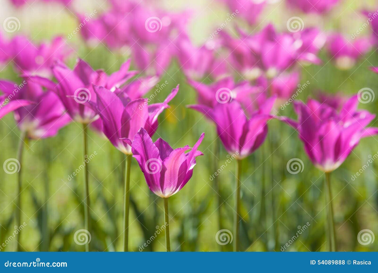 Purpere leliebloemen in achterlicht