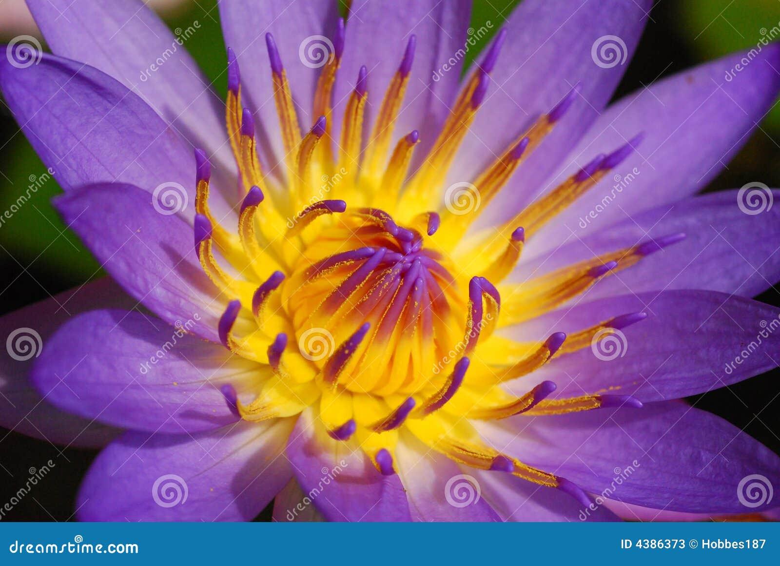 Purpere Lotus/Lelie