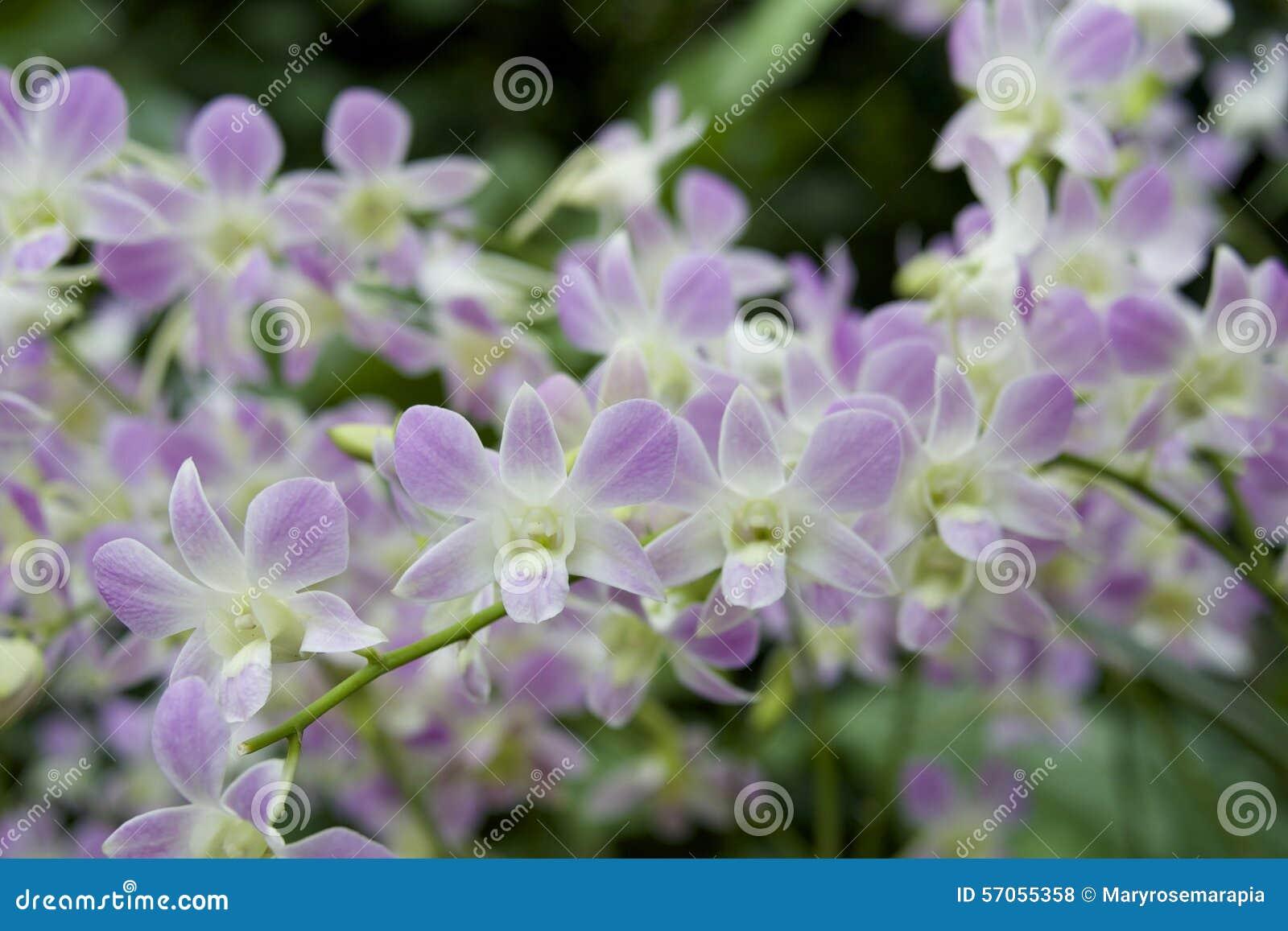 Purpere orchideeën
