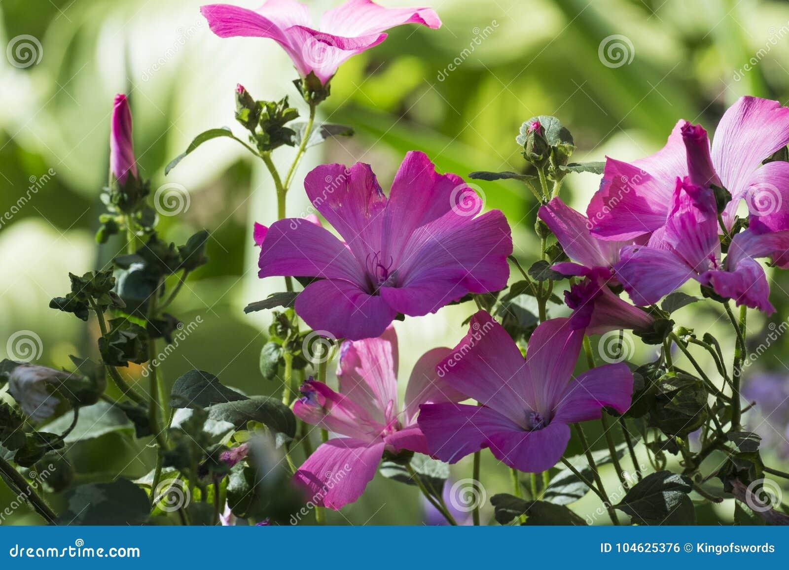 Download Purpere Trechter-vormige Bloemen Van Koninklijke Mallows Stock Foto - Afbeelding bestaande uit greens, mallows: 104625376