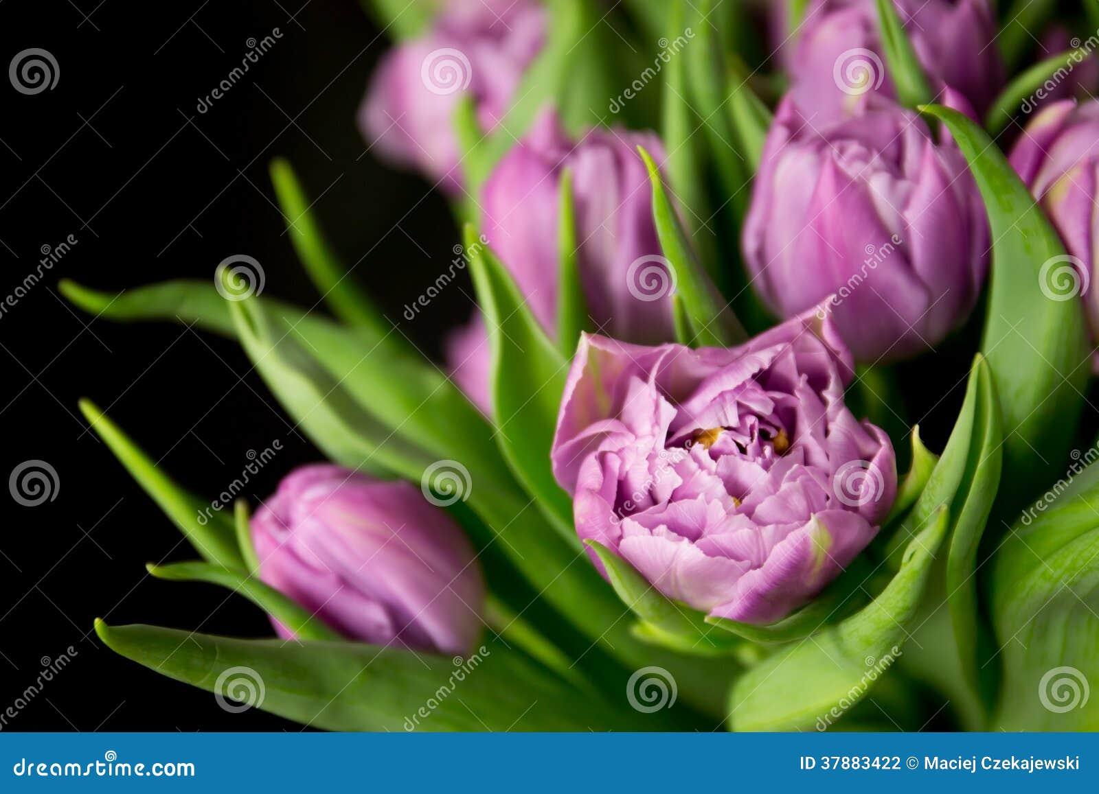 Purpere tulpen