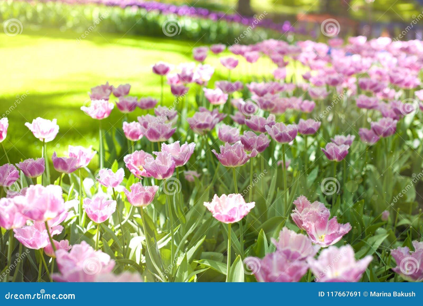 Purpere tulpen en groen gras Park met bloemen Keukenhof in de lente holland Achtergrond,