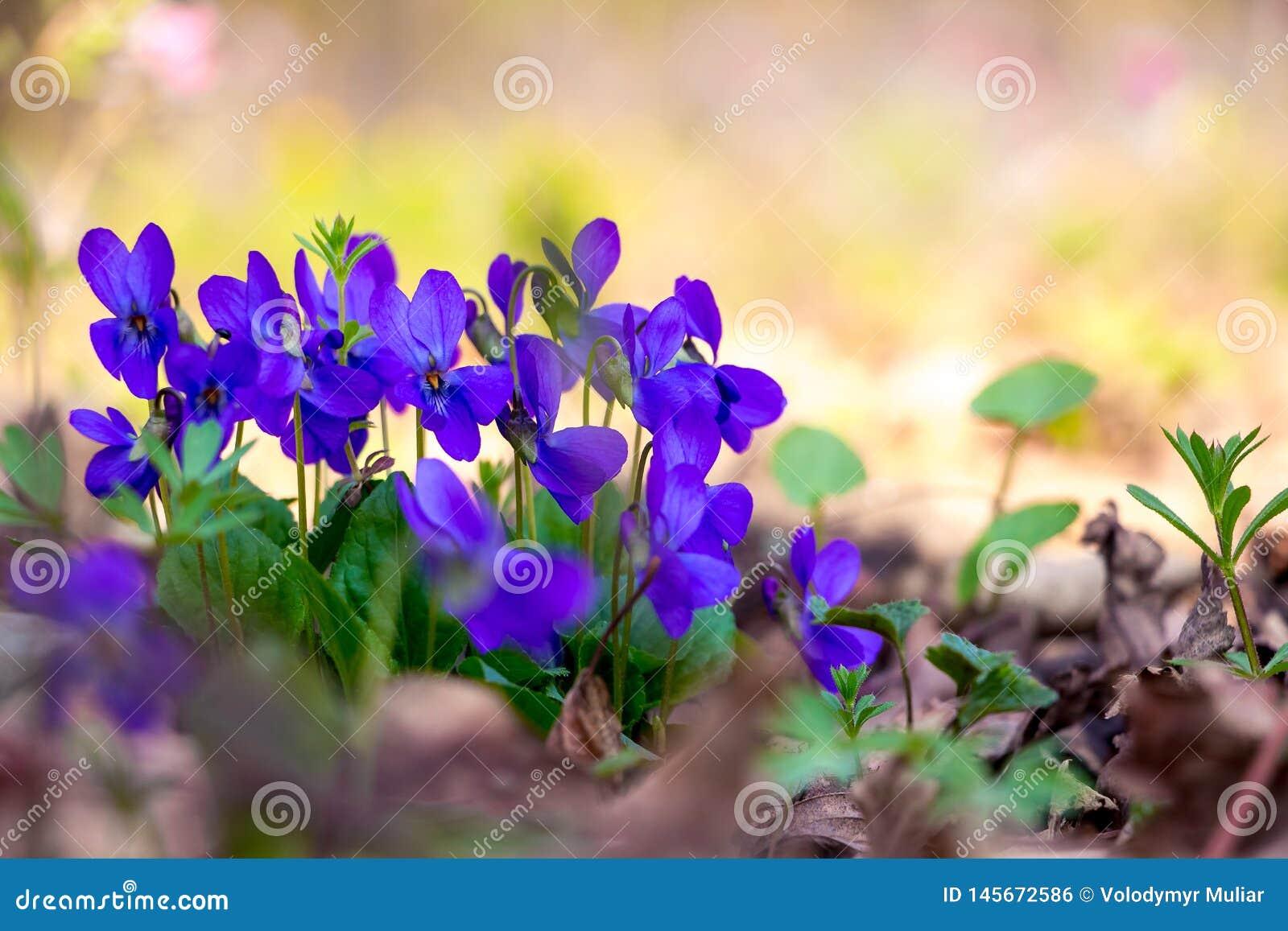 Purpere viooltjes op een lichte onscherpe achtergrond in woods_