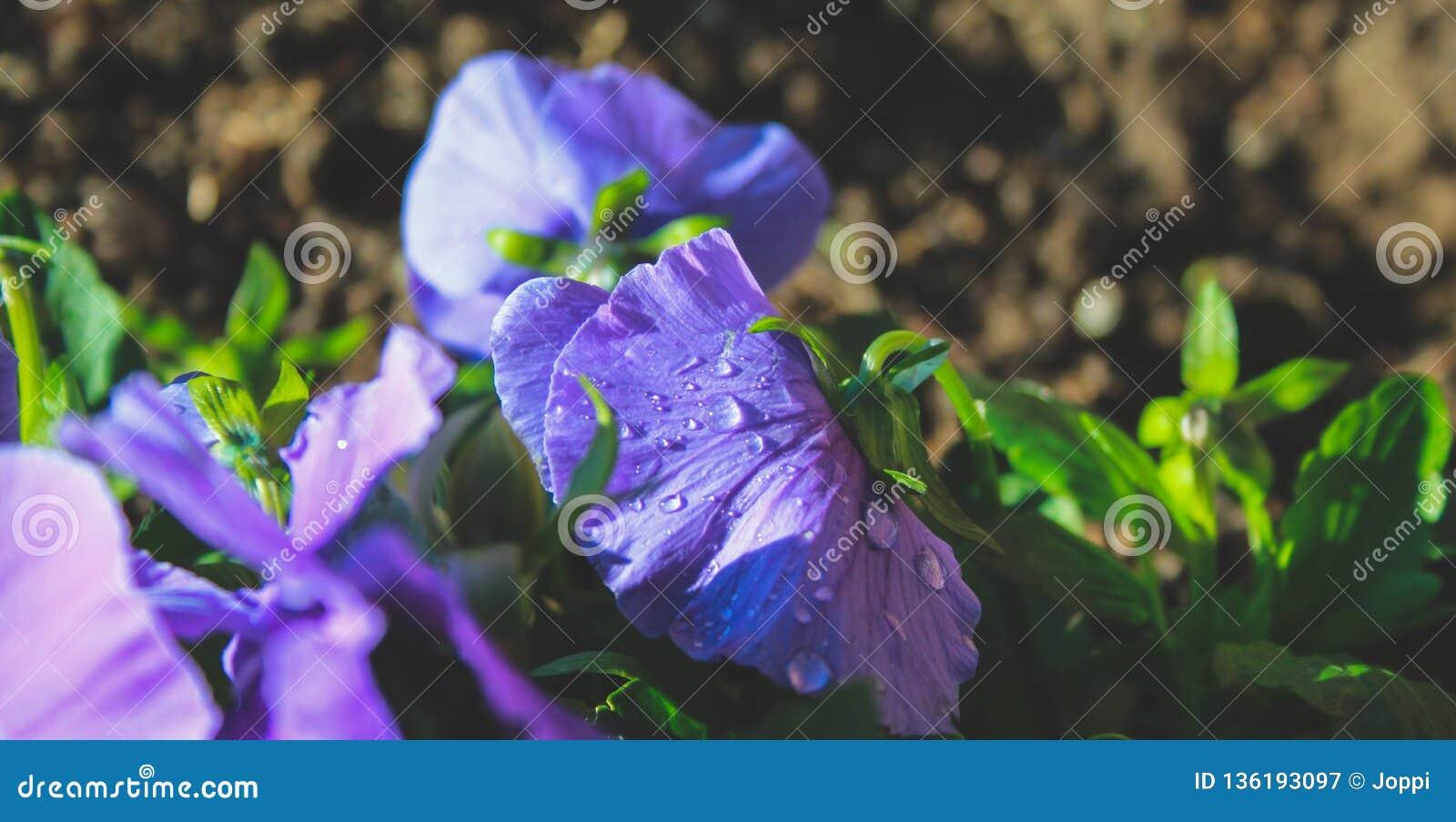 Purpere wilde bloemen die op gebied in Nieuw Zeeland groeien