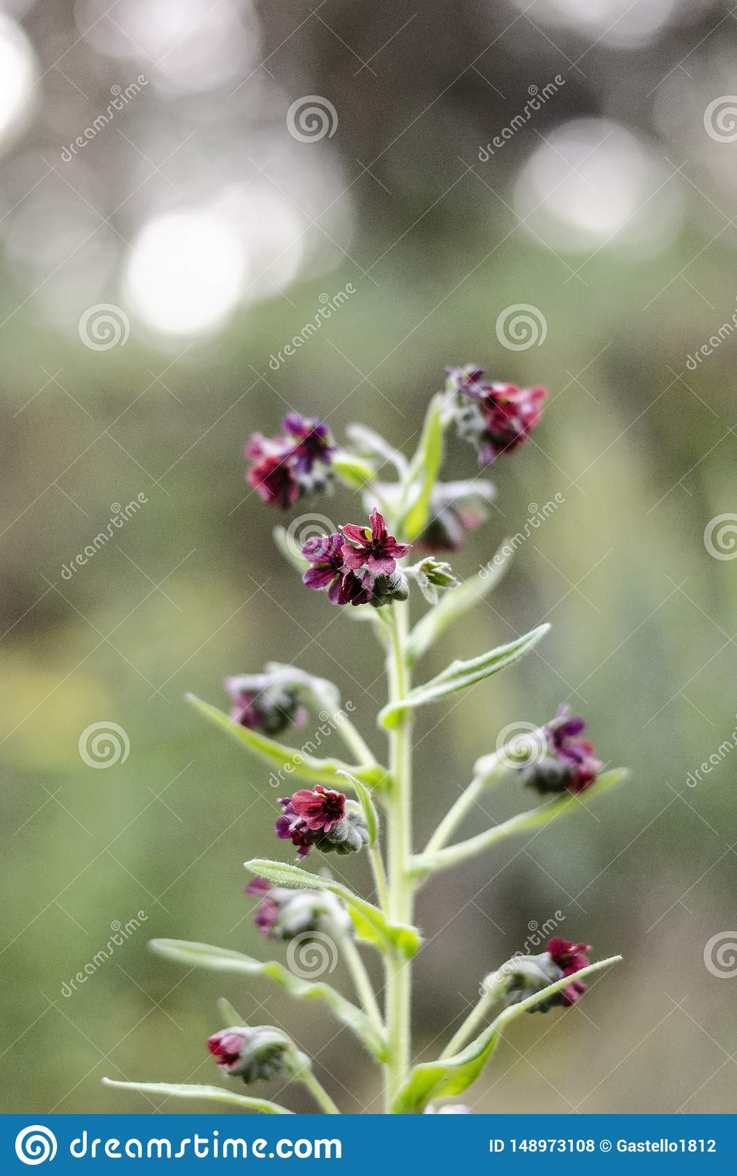 Purpere wildflowers op één enkele steel Nadruk in het centrum Onduidelijk beeld rond de randen Zachte Achtergrond