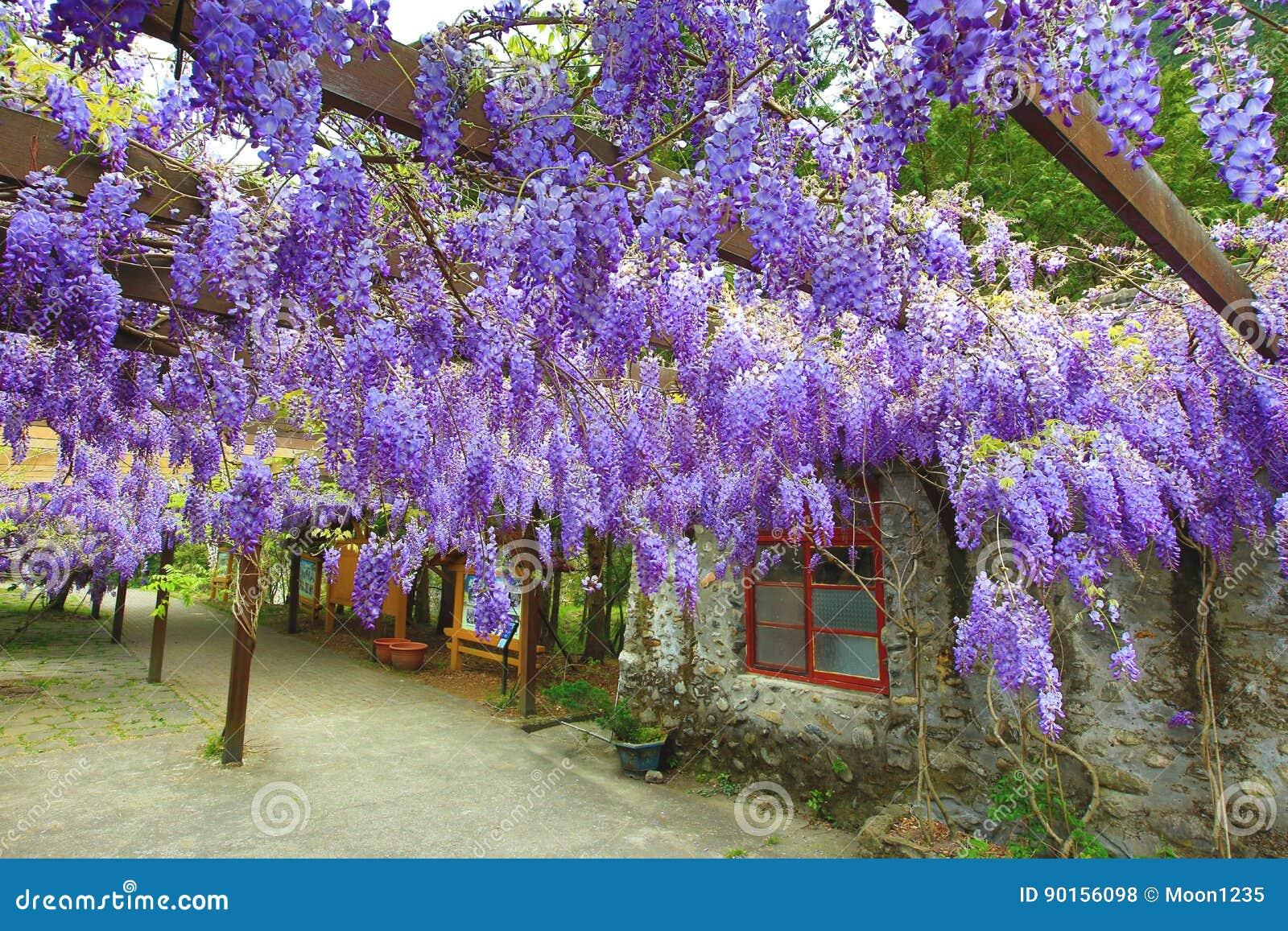 Purpere wisteriabloemen, Bean Tree, Chinese Wisteria, Purpere Wijnstok
