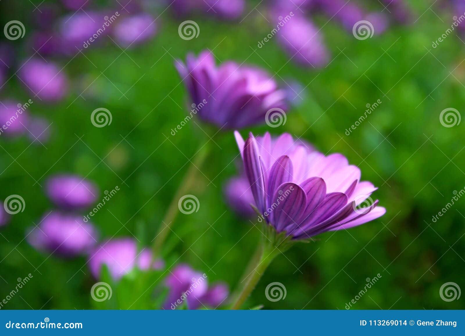 Purple African Daisy bush meadow in bloom