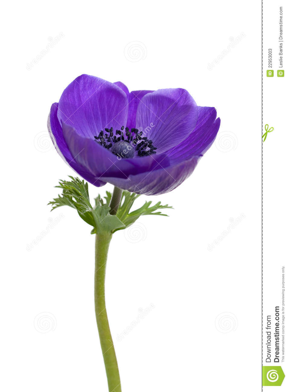 Purple Anemone Flower Stock Photos - Image: 22953003