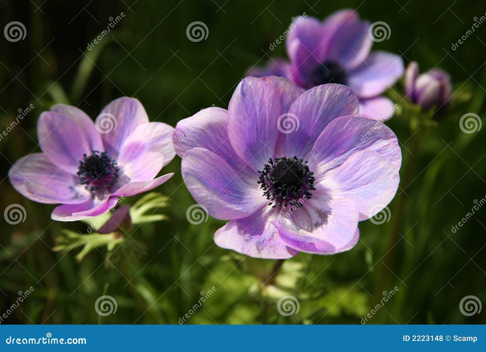 Purple Anemone Spring Flowers Royalty Free Stock Photos
