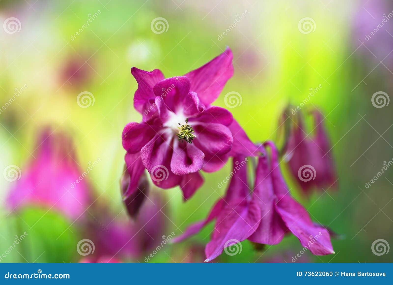Purple aquilegia columbine flower in garden stock photo image purple aquilegia columbine flower in garden izmirmasajfo