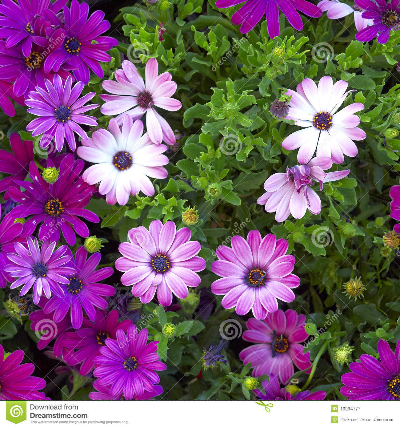 purple aster daisy flowers royalty free stock photography  image, Beautiful flower
