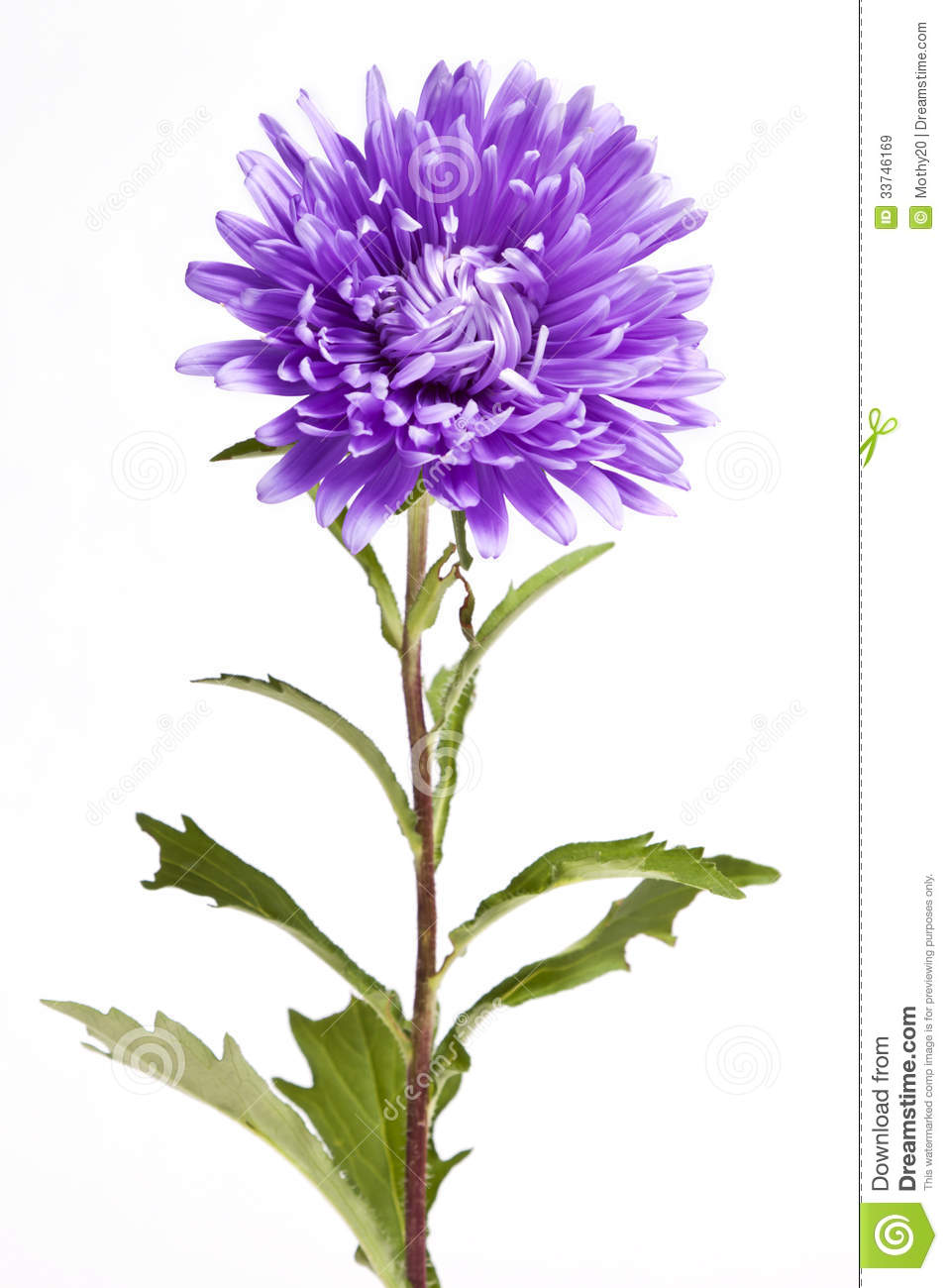 purple aster flower royalty free stock images  image, Beautiful flower