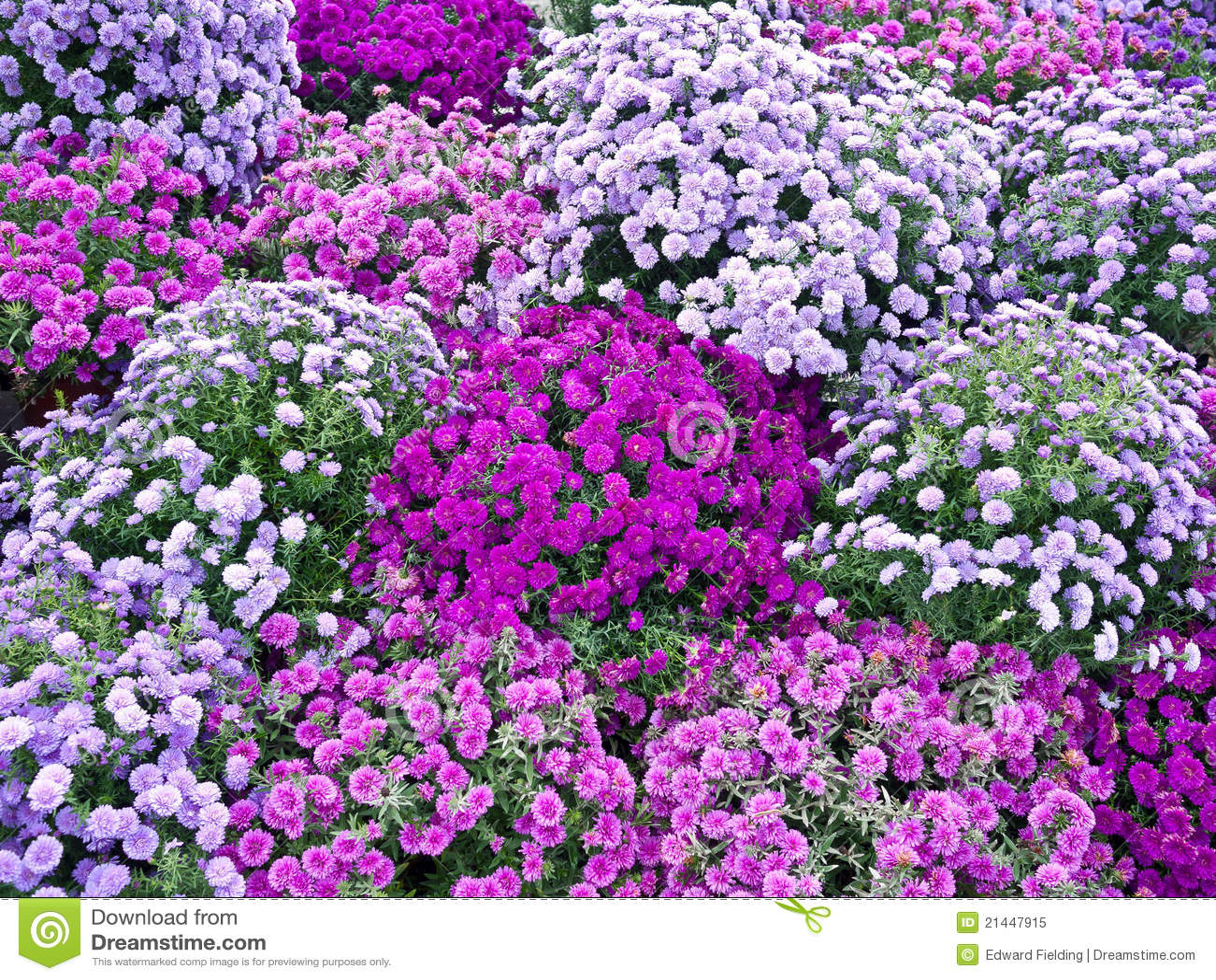 Purple asters (syn. Diplopappus Cass.) is a genus of flowering plants ...