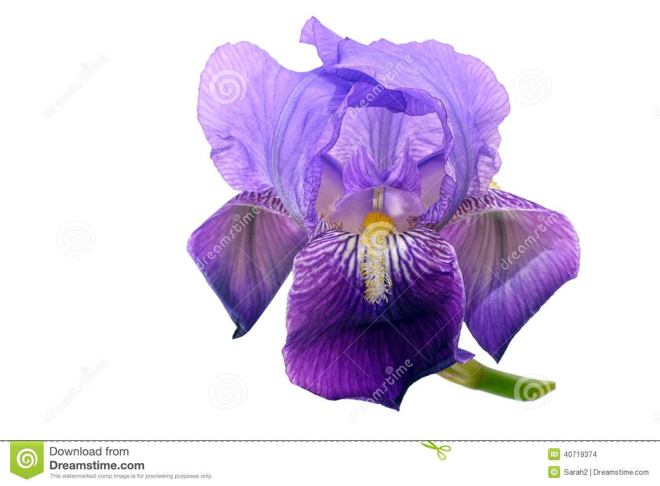 Purple bearded iris flower isolated over white background stock download comp izmirmasajfo