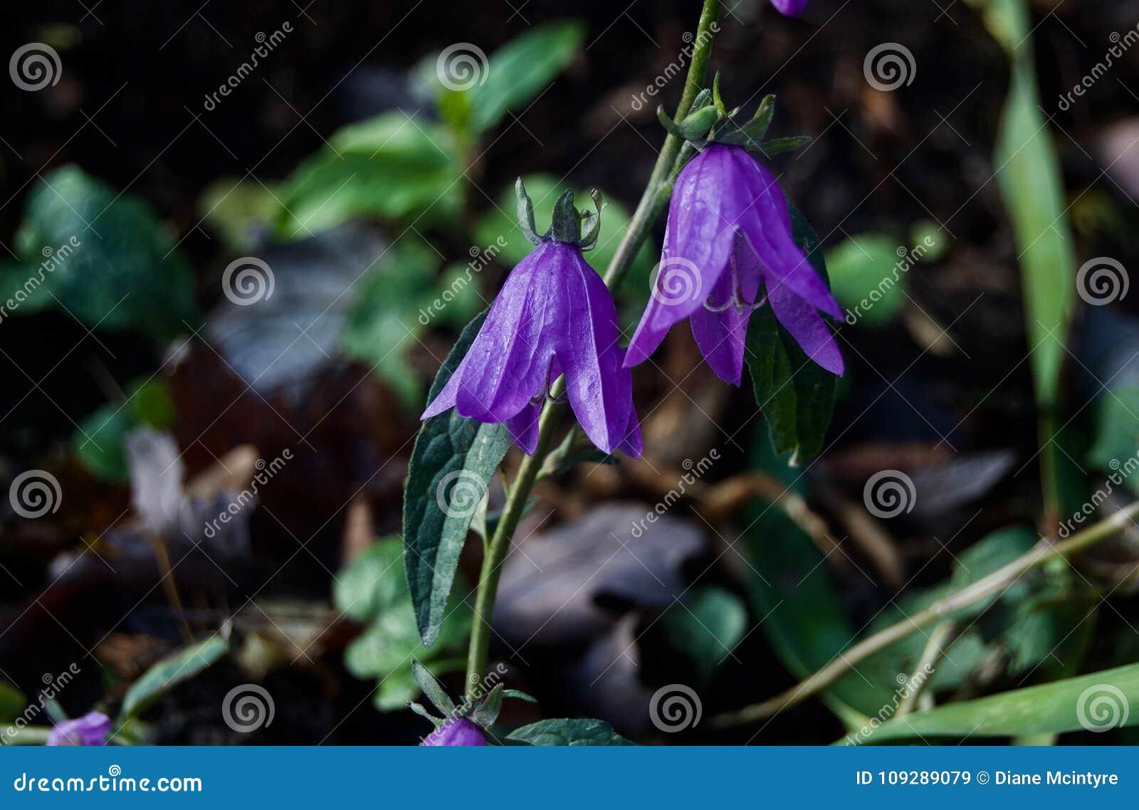 Purple Bell Flower Amid Lush Green Foliage Stock Image Image Of