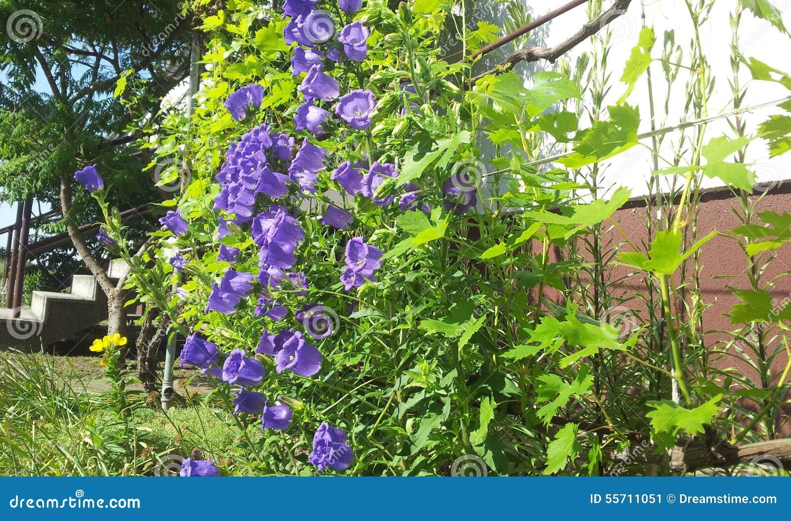 Purple bell flower stock photos royalty free pictures purple bell flower beautiful purple bell flower vine leaves company stock image mightylinksfo