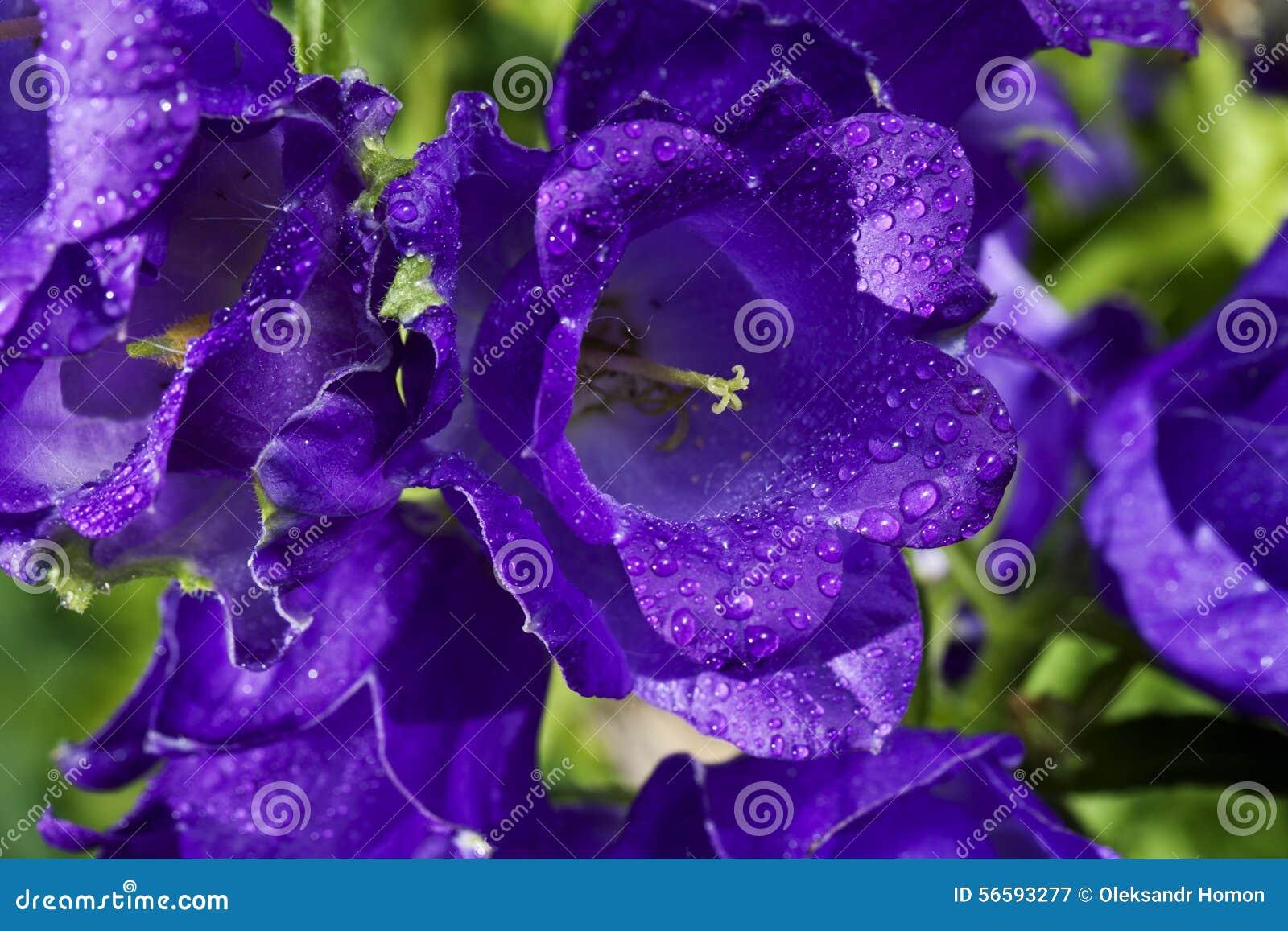 Purple Bell Flowers Stock Photo 56593277 Megapixl