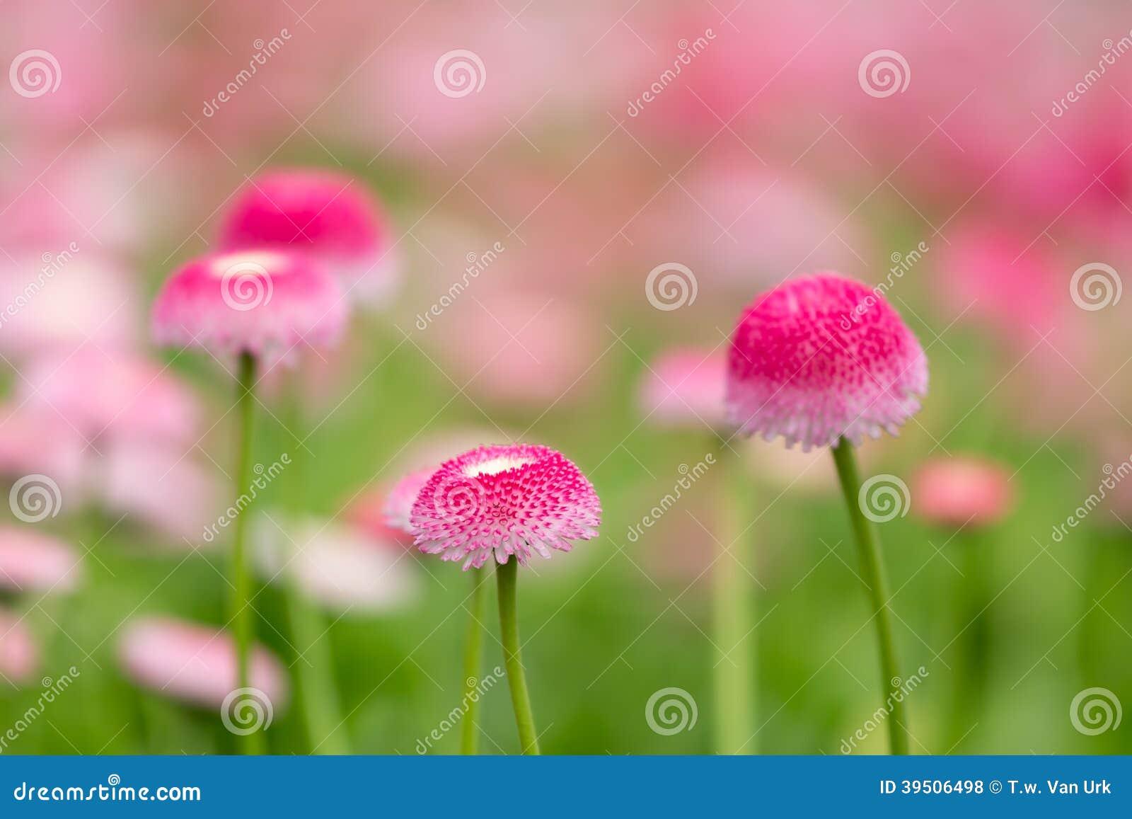 Purple bellis flowers with selective focus