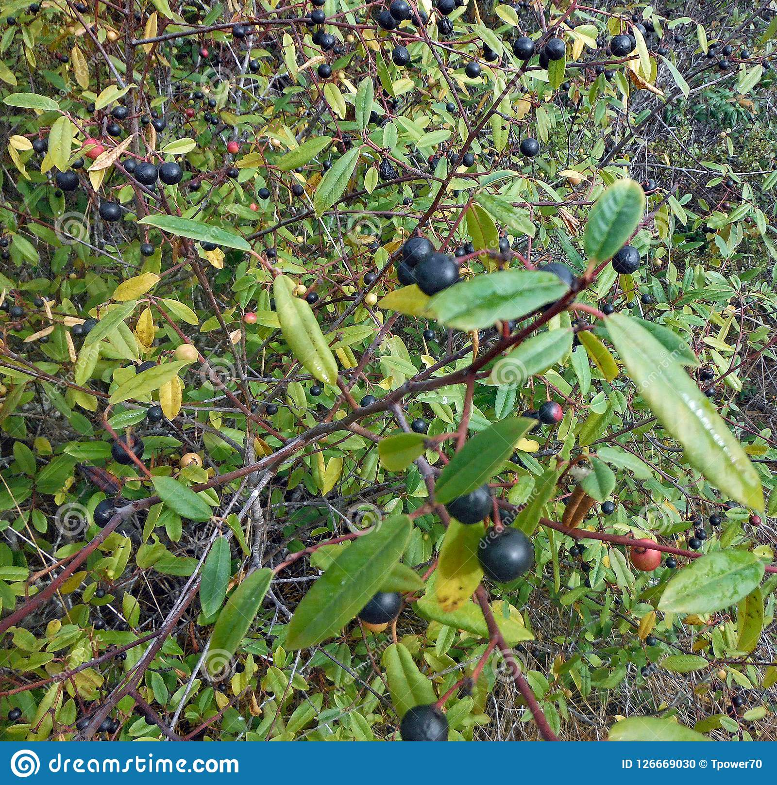 Purple Berries On A Tree Stock Photo Image Of Nature 126669030