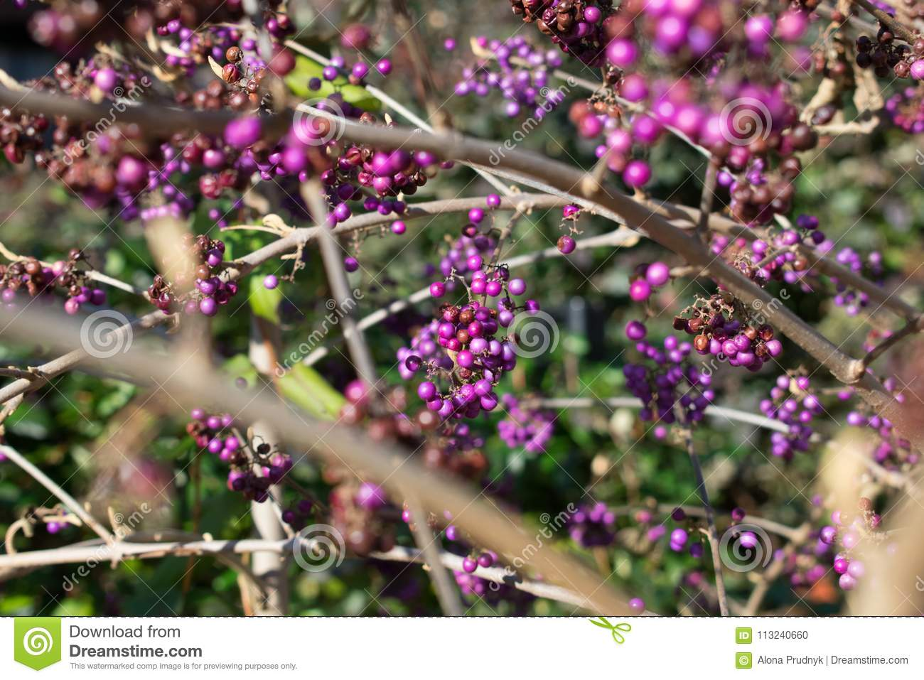 Purple Berries In The Tree Stock Photo Image Of Spectacular