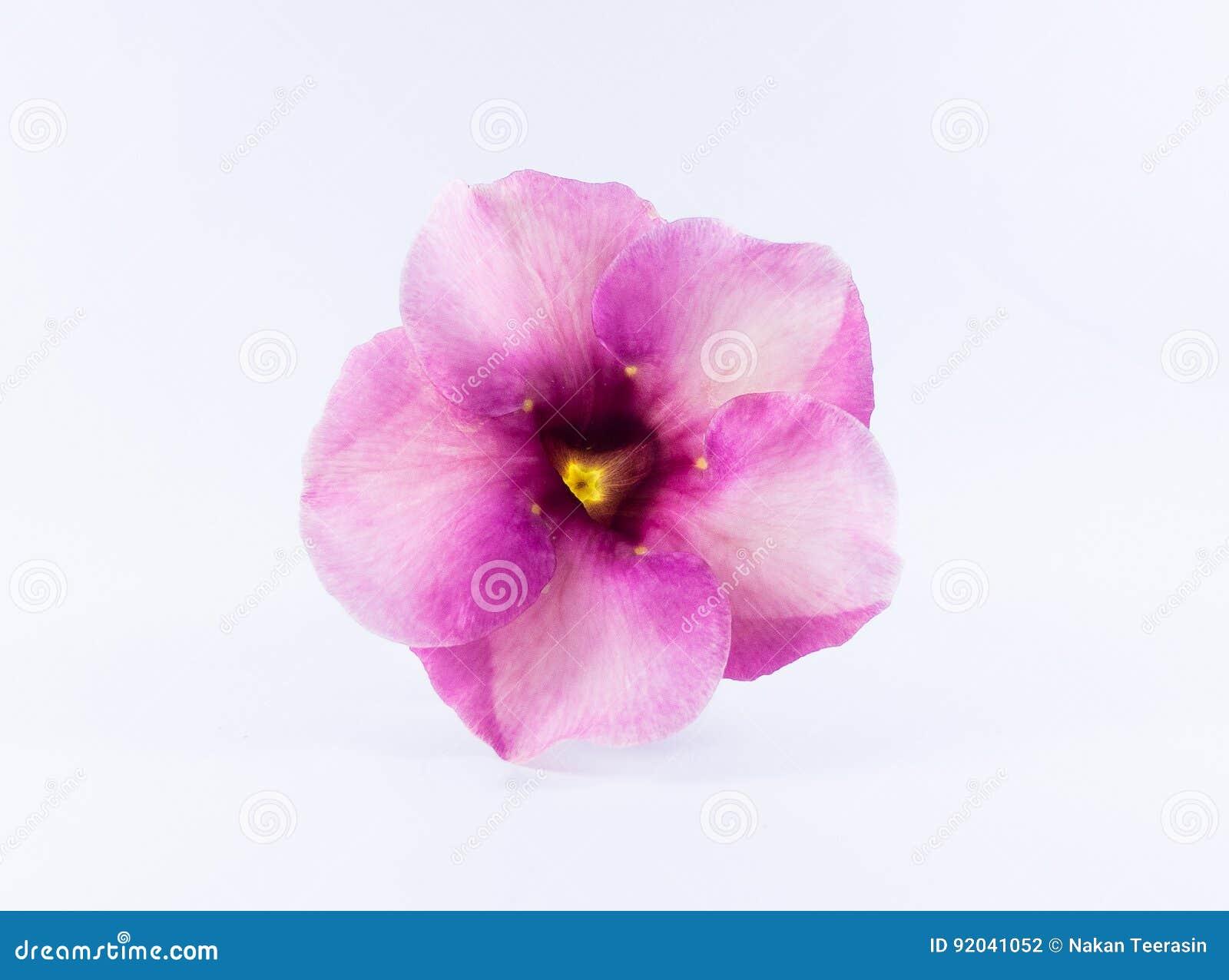 Purple Bignonia