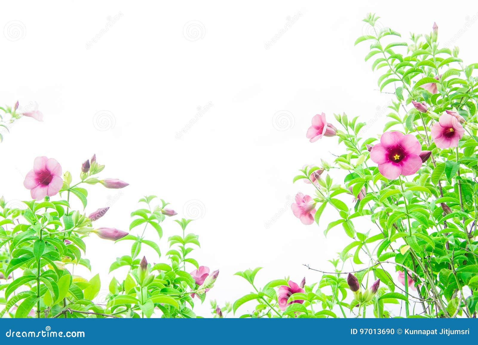 Purple Bignonia Flowers Pink Flowers Floral Growing Vintage An