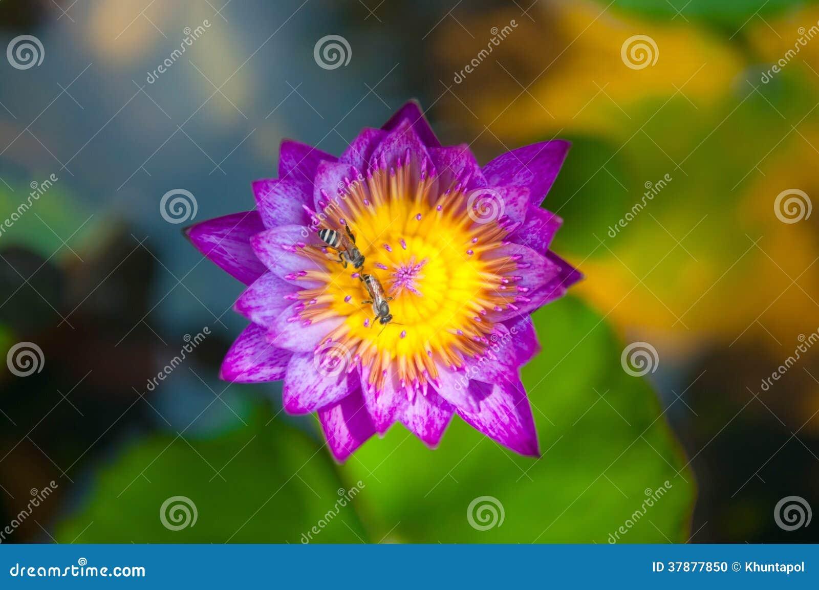 Purple bloeit waterlily en bij