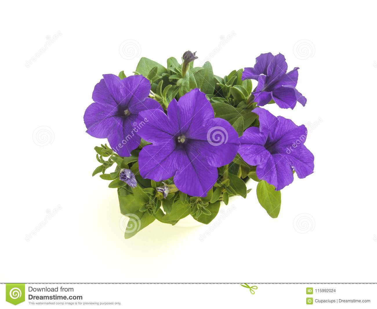 a38e09f8bc Purple Blooming Petunia Flower In Pot Top Angle Isolated Stock Photo ...