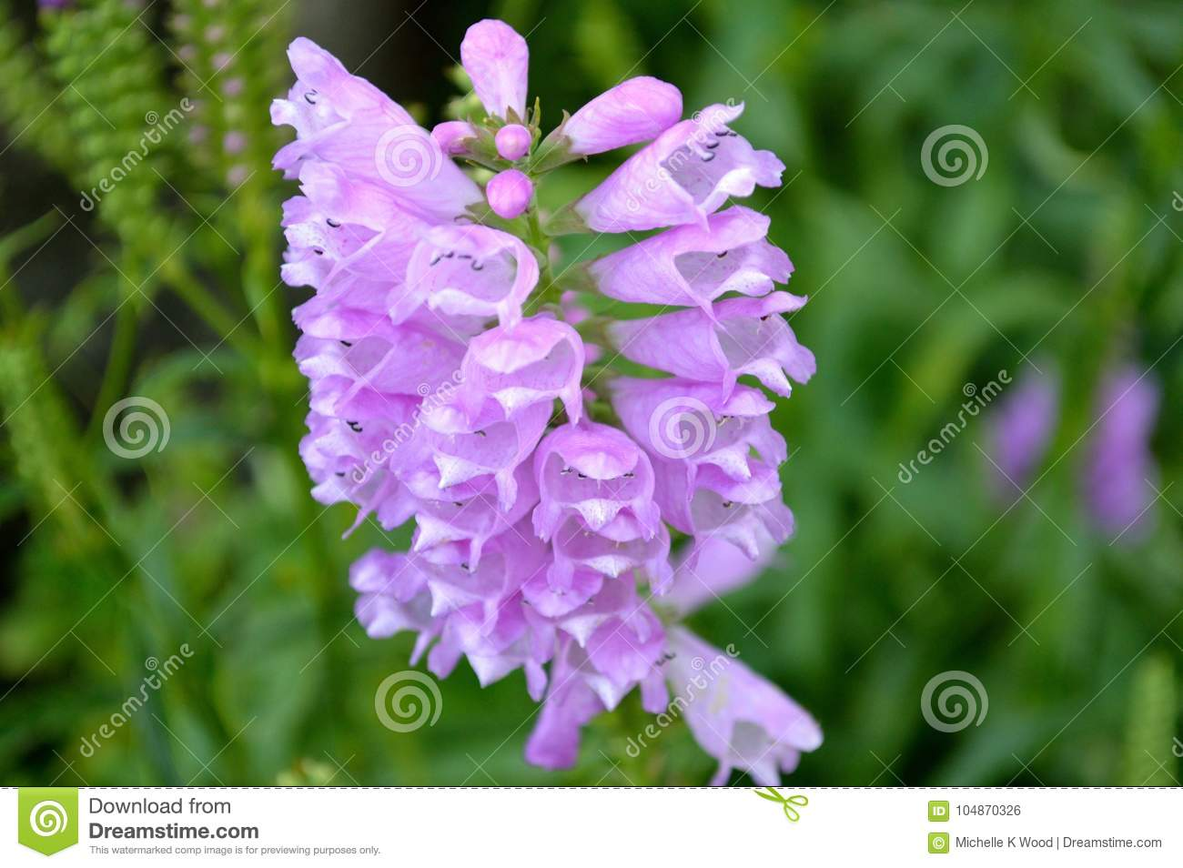Purple blossoming wild orchids closeup
